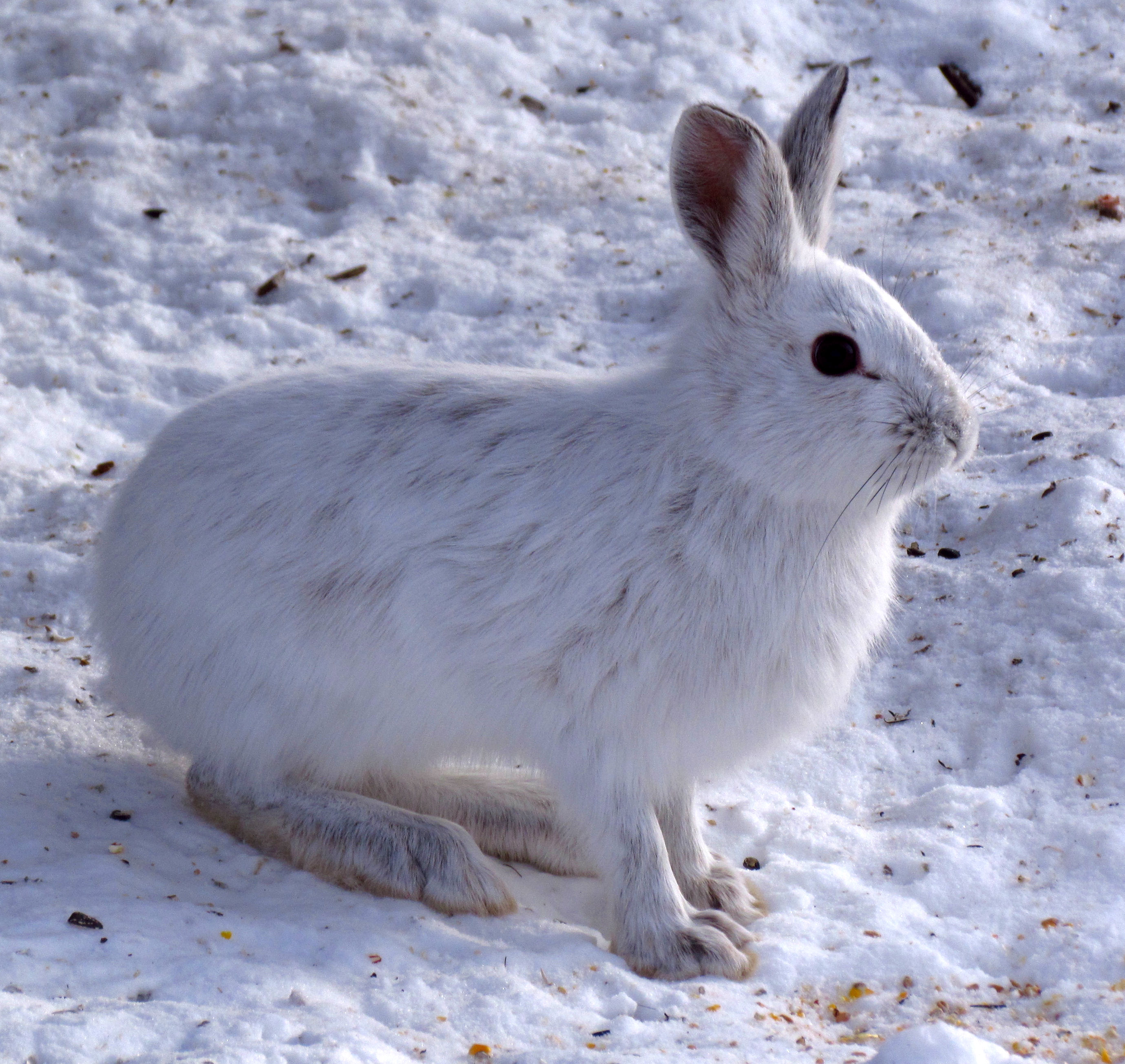 File:Snowshoe Hare, Shirleys Bay.jpg - Wikimedia Commons