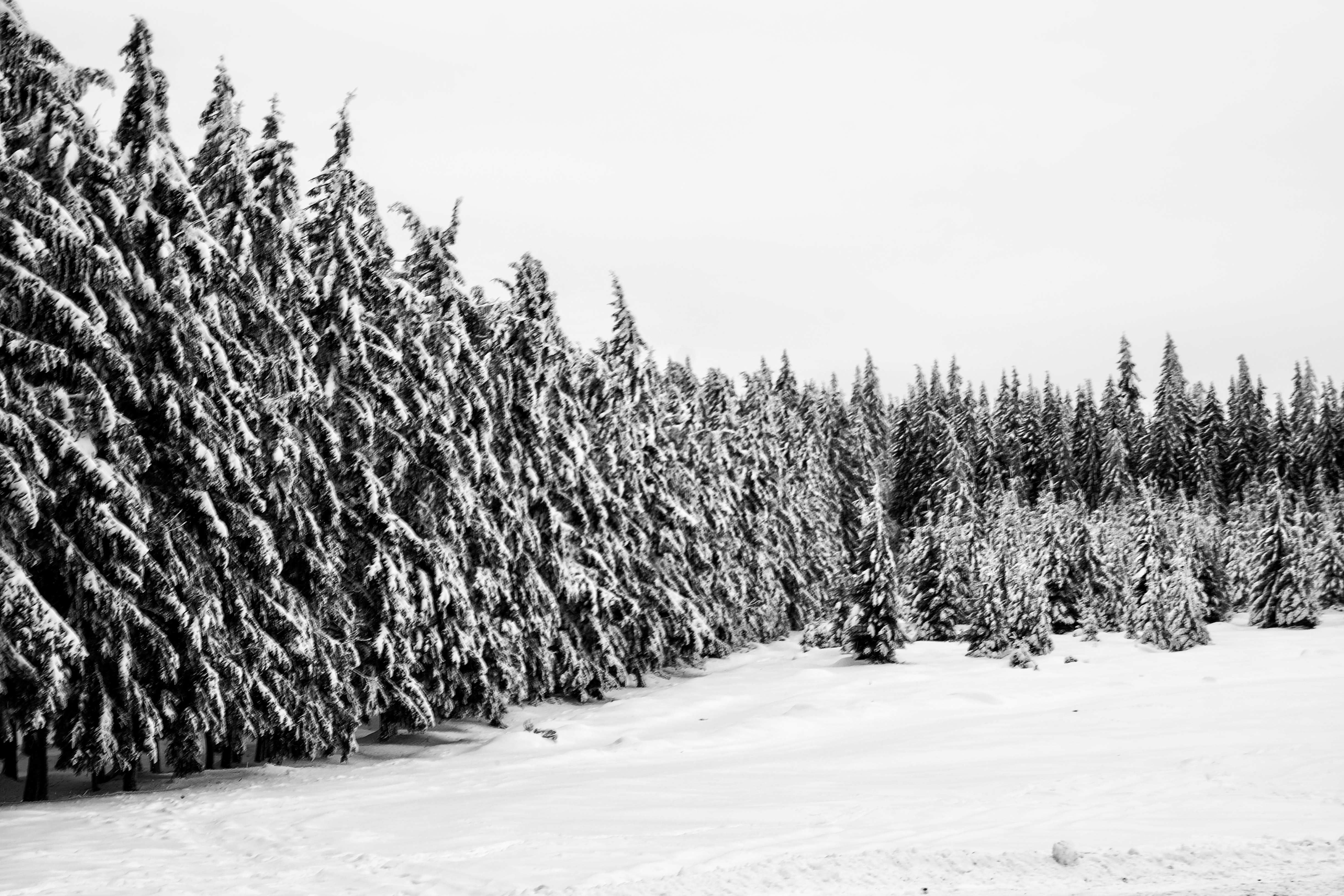 Snowy field and trees photo