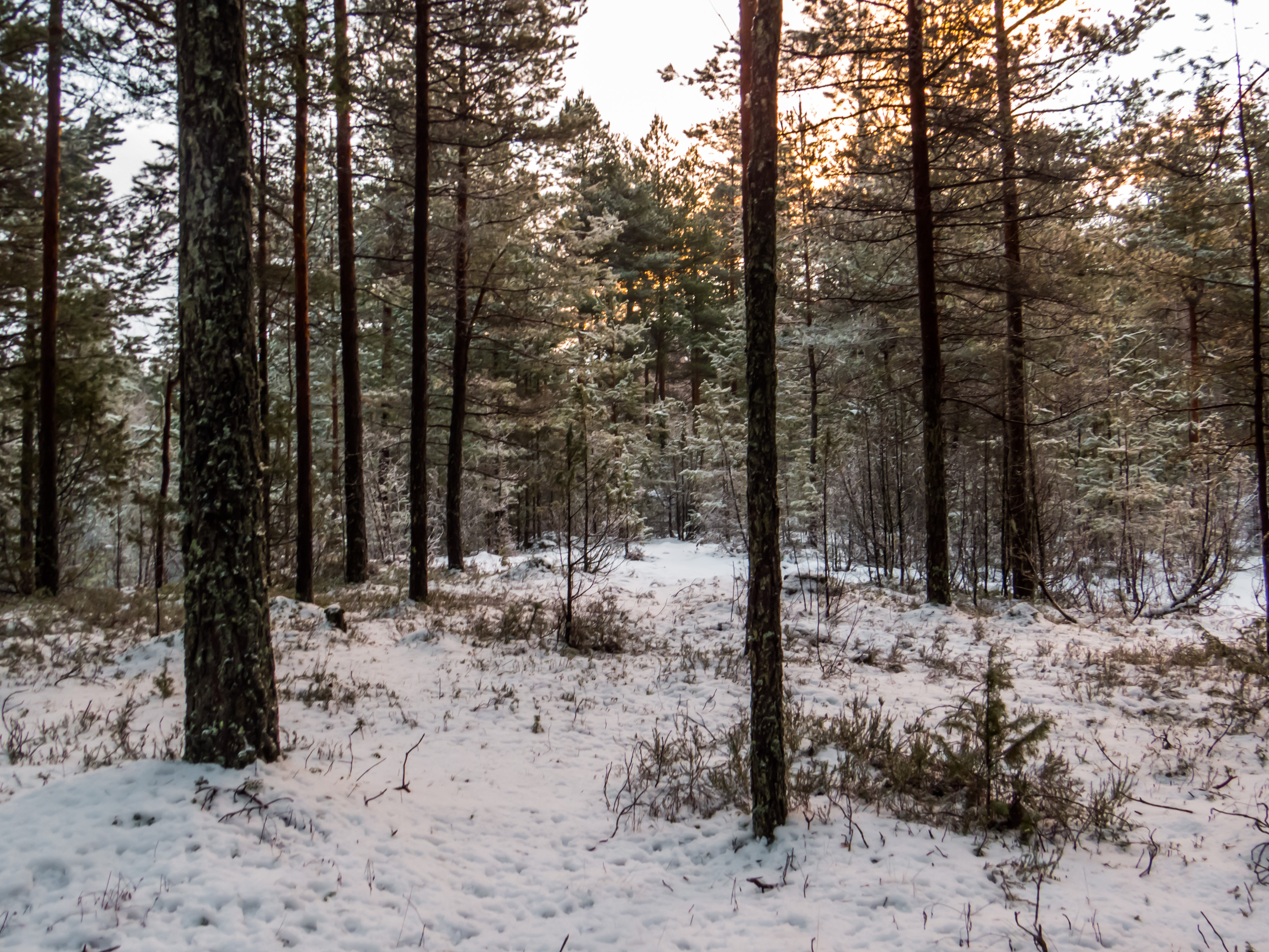Snowy Forest, Woods, Skies, Nature, Pines, HQ Photo