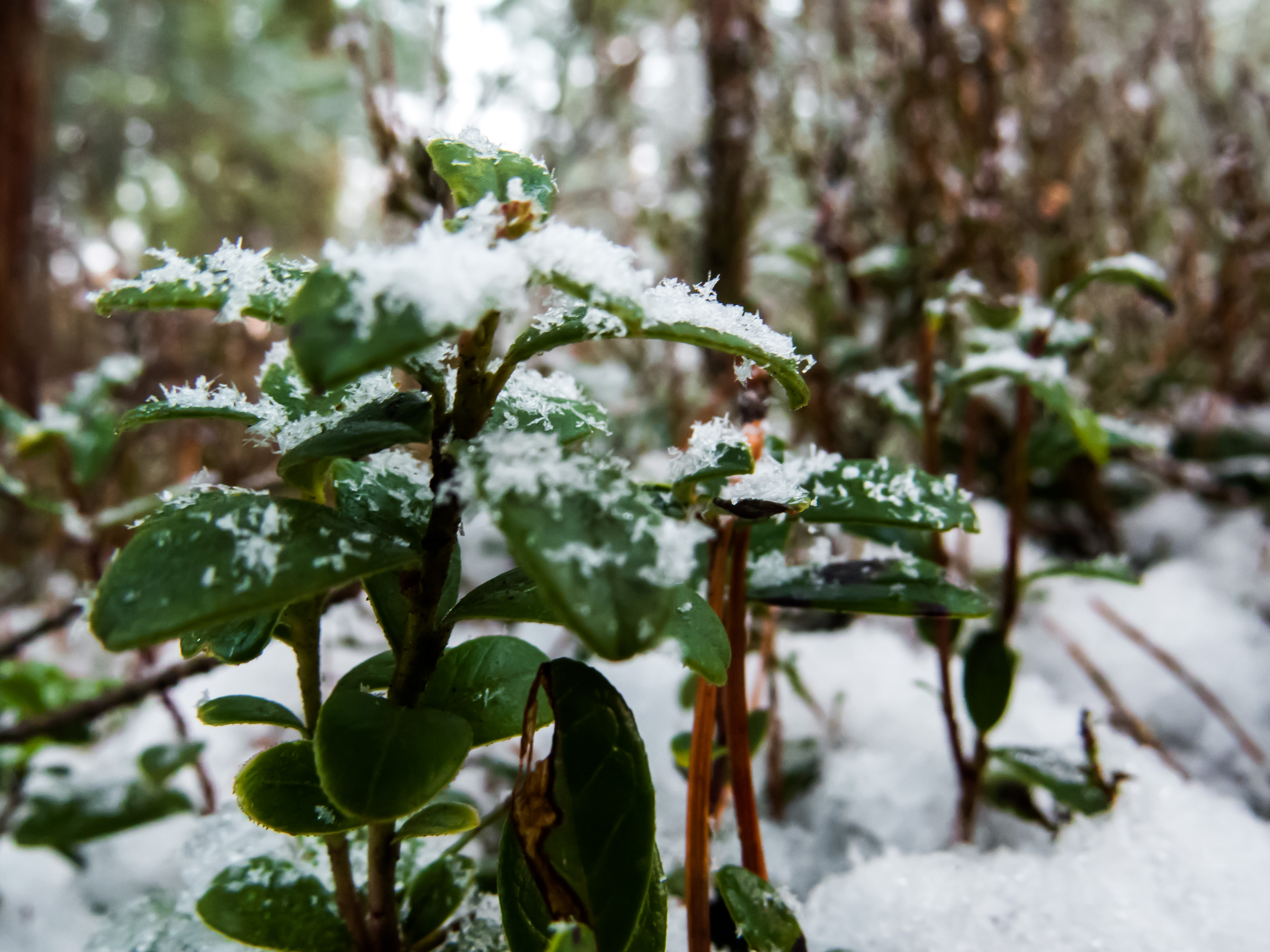 Snowy Forest, Woods, Skies, Natural, Nature, HQ Photo