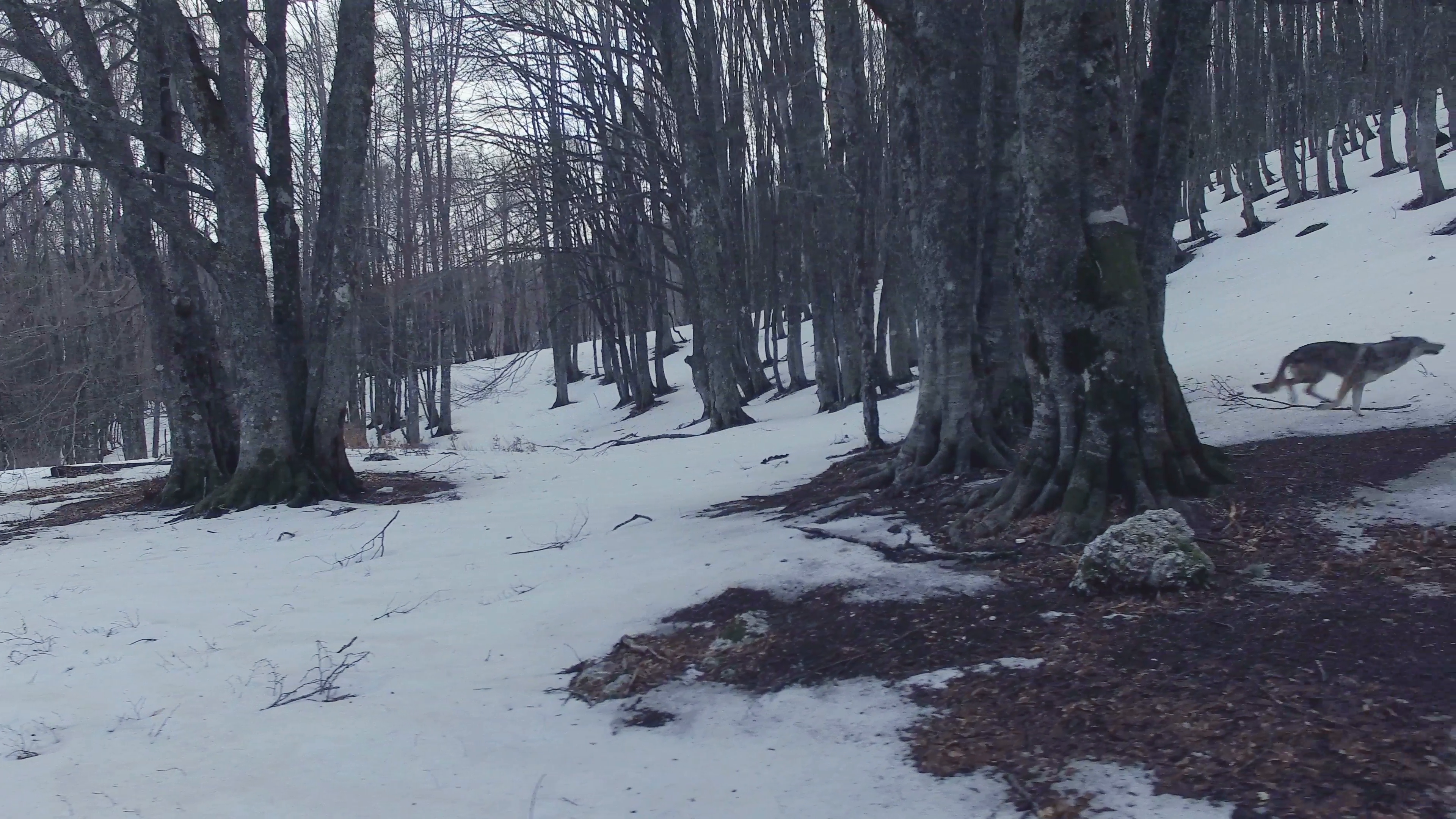 A wolf runs in a snowy forest in the mountains at the evening. Drone ...