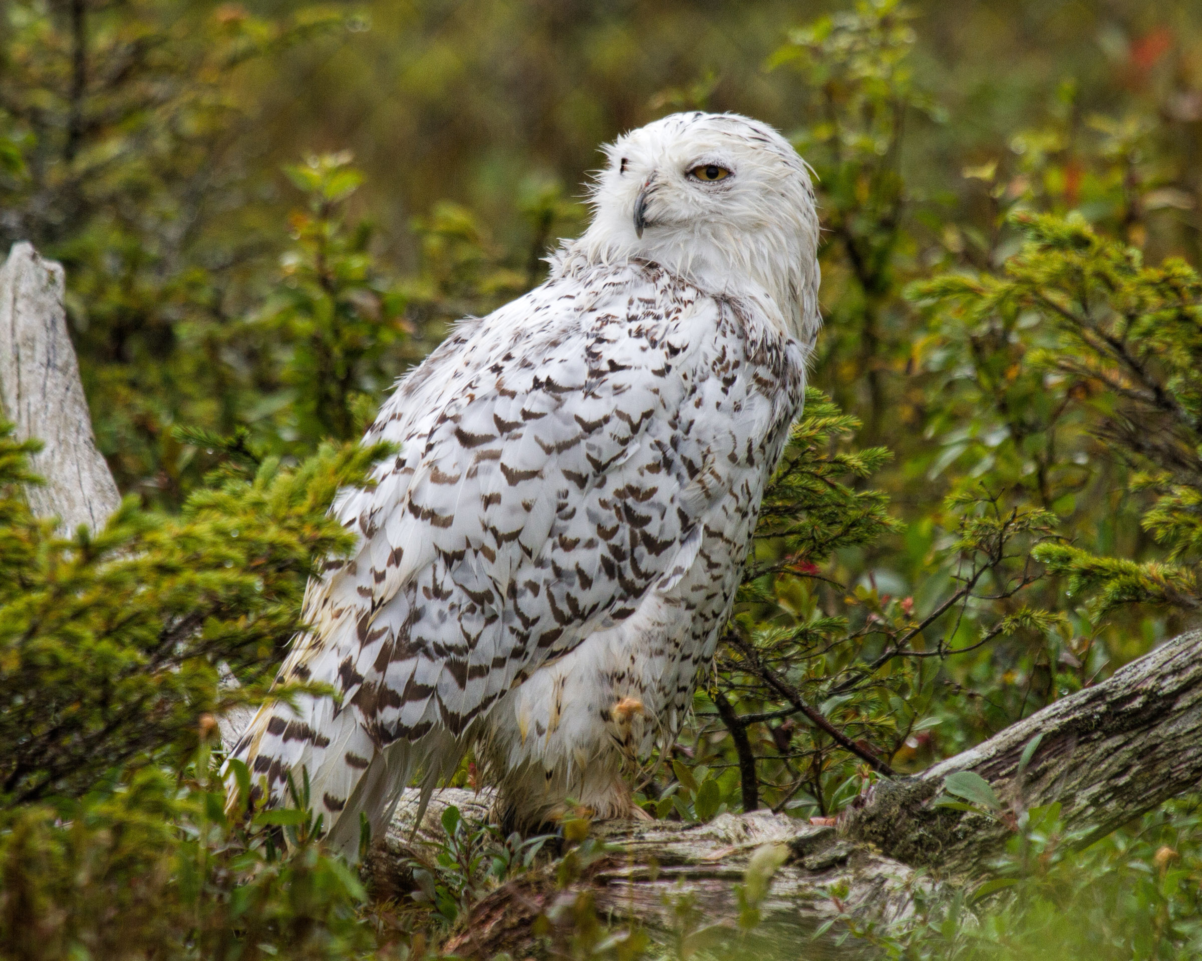 Snowy owl, America, Snow, Plumage, Polar, HQ Photo
