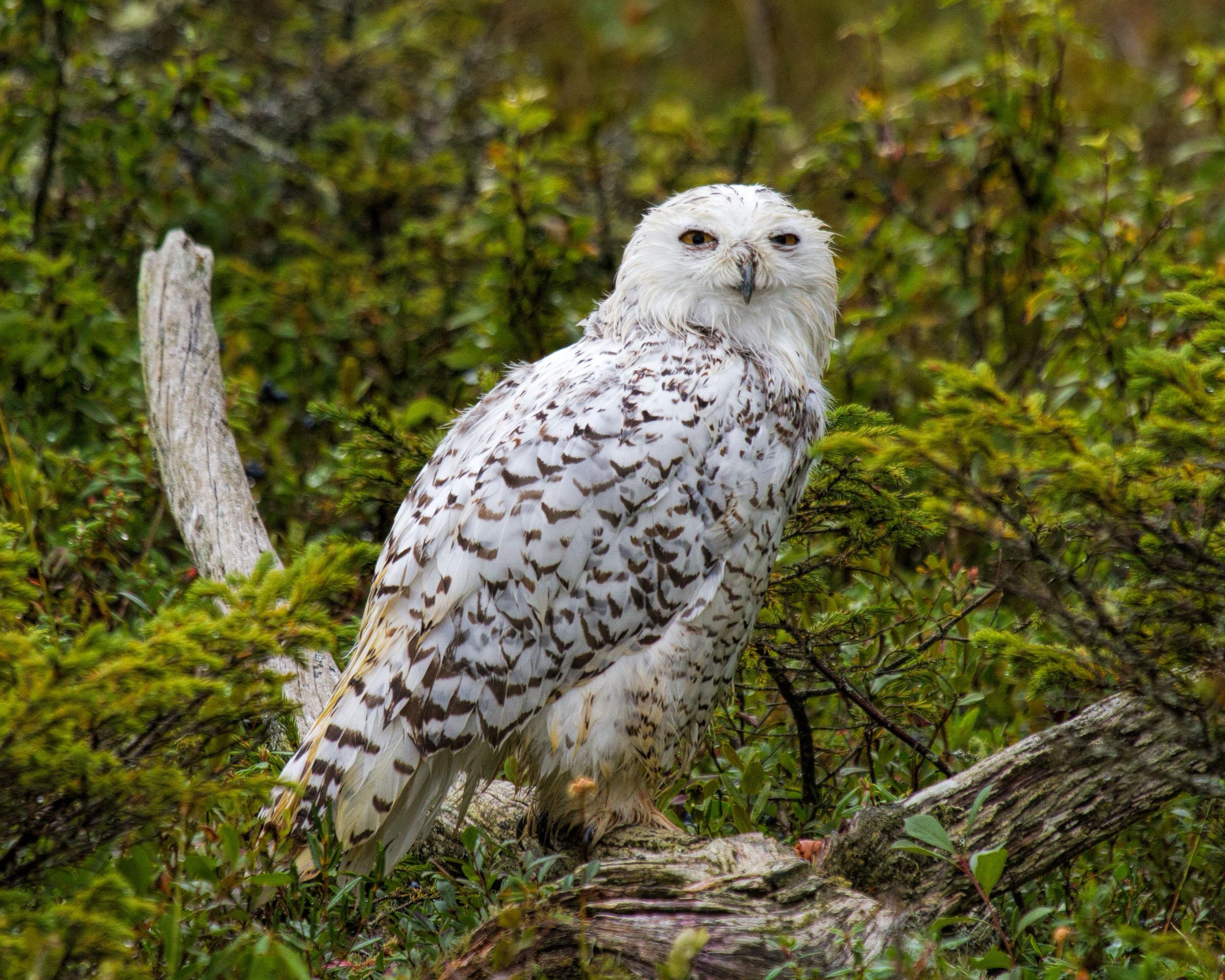 Snowy owl, America, Snow, Plumage, Polar, HQ Photo