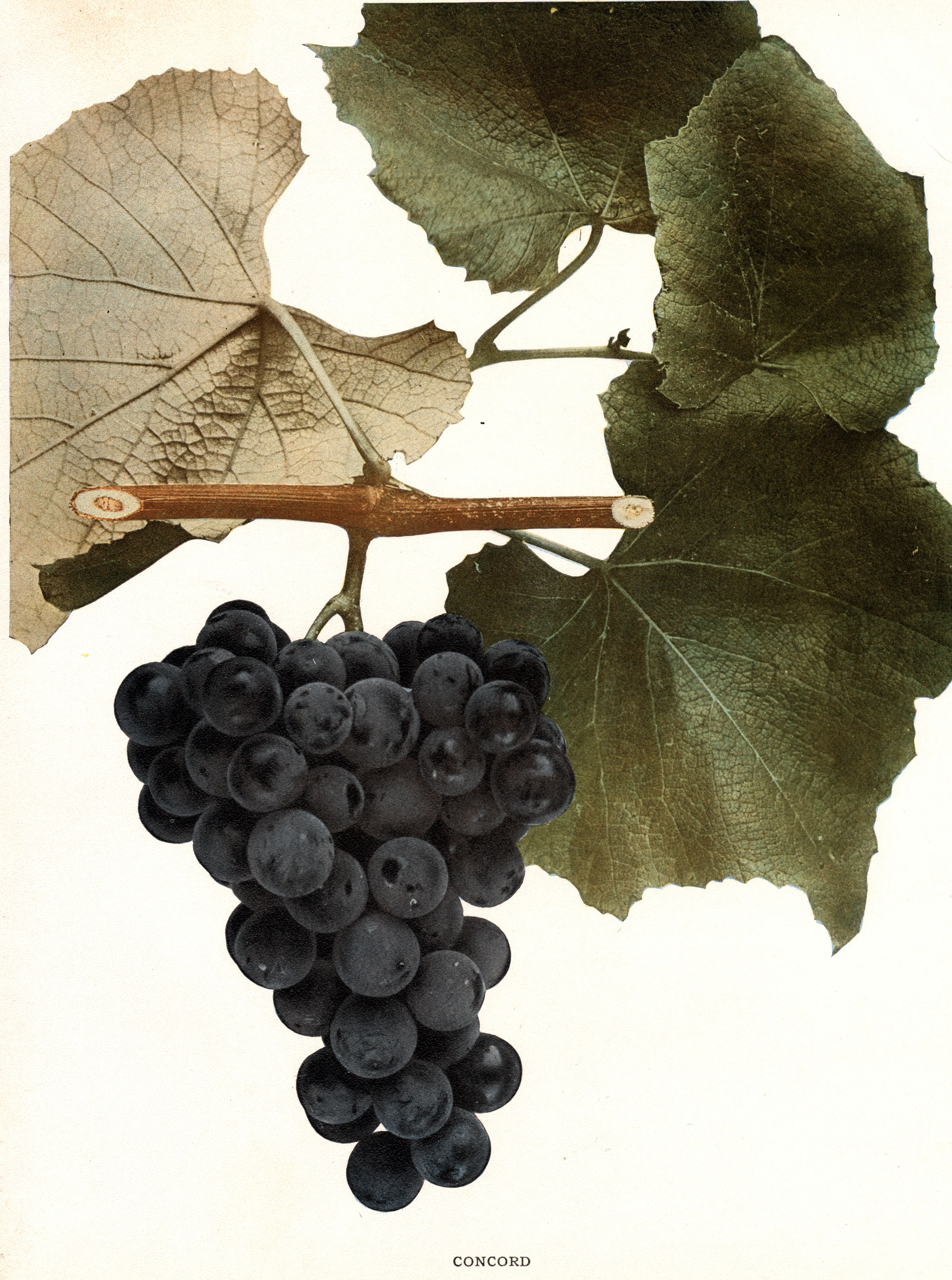 Soldier giving grapes photo