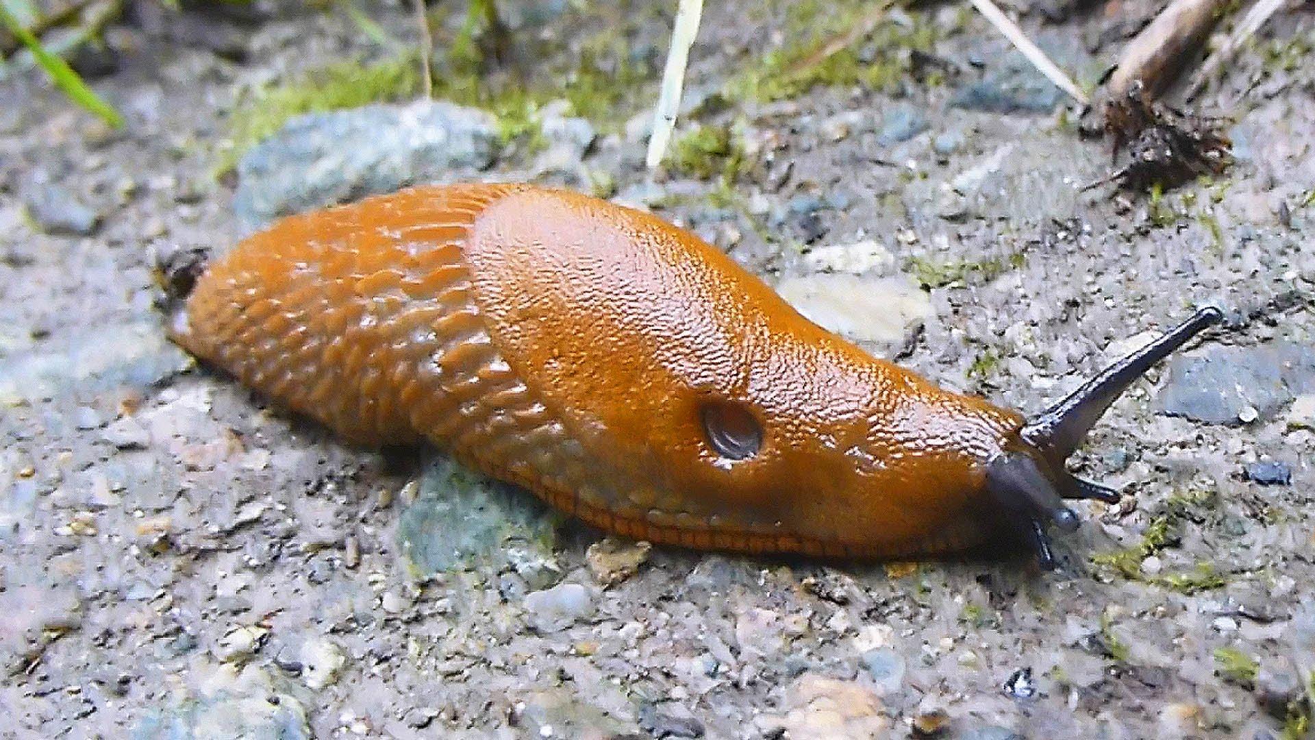 Spanish slug photo
