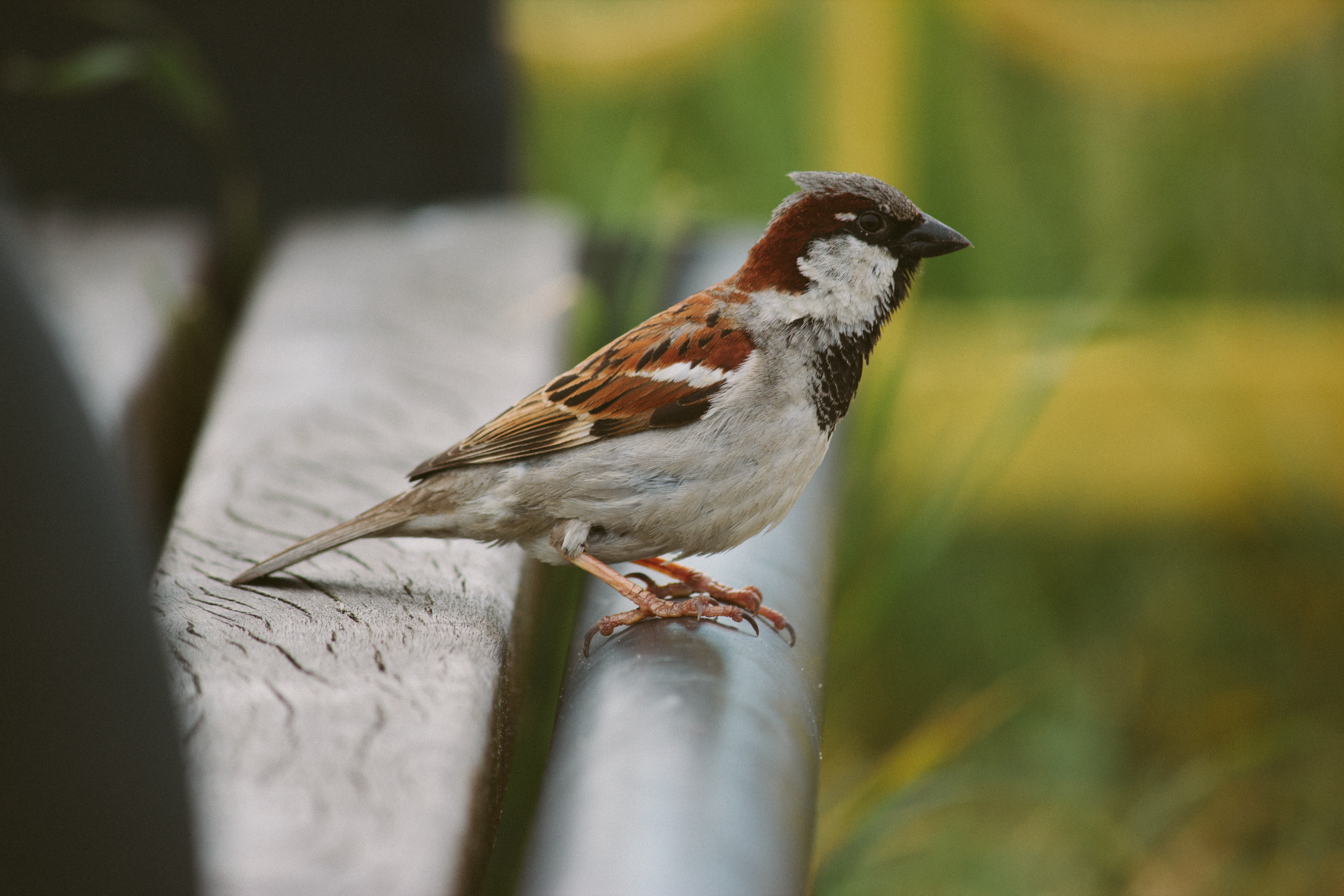 Sparrow perched on bench photo