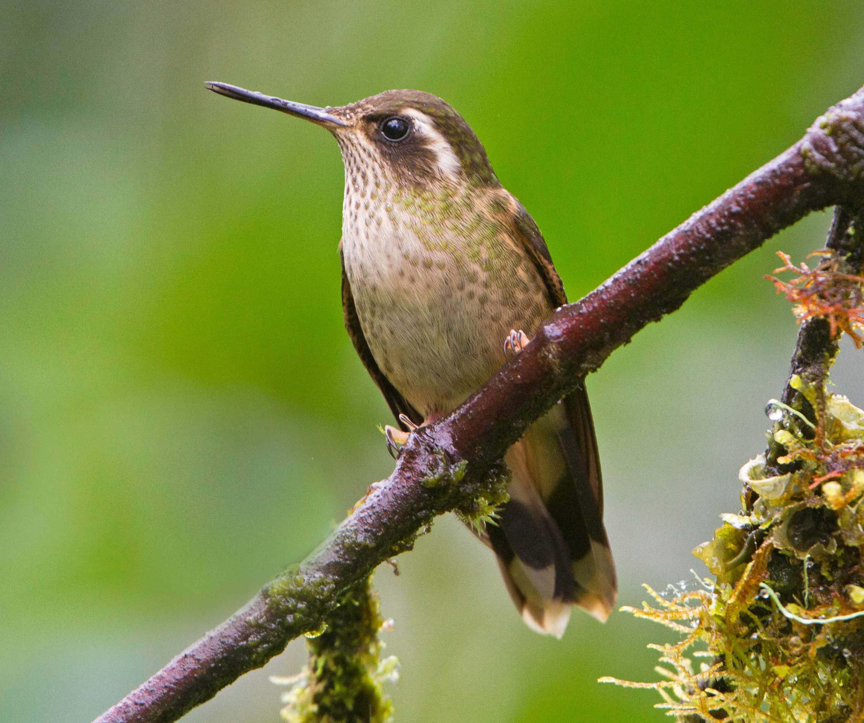 Speckled hummingbird photo