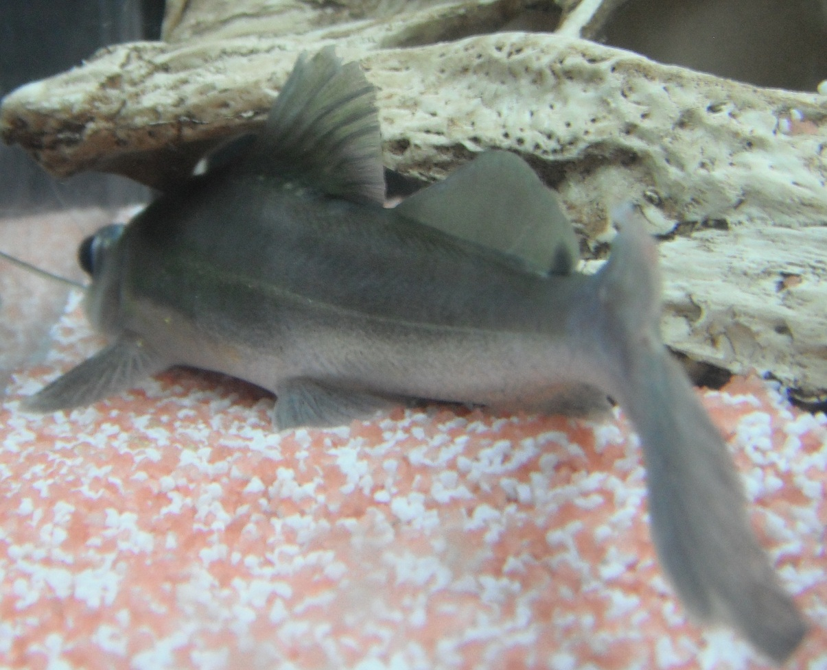 Sperata or catfish from behind photo