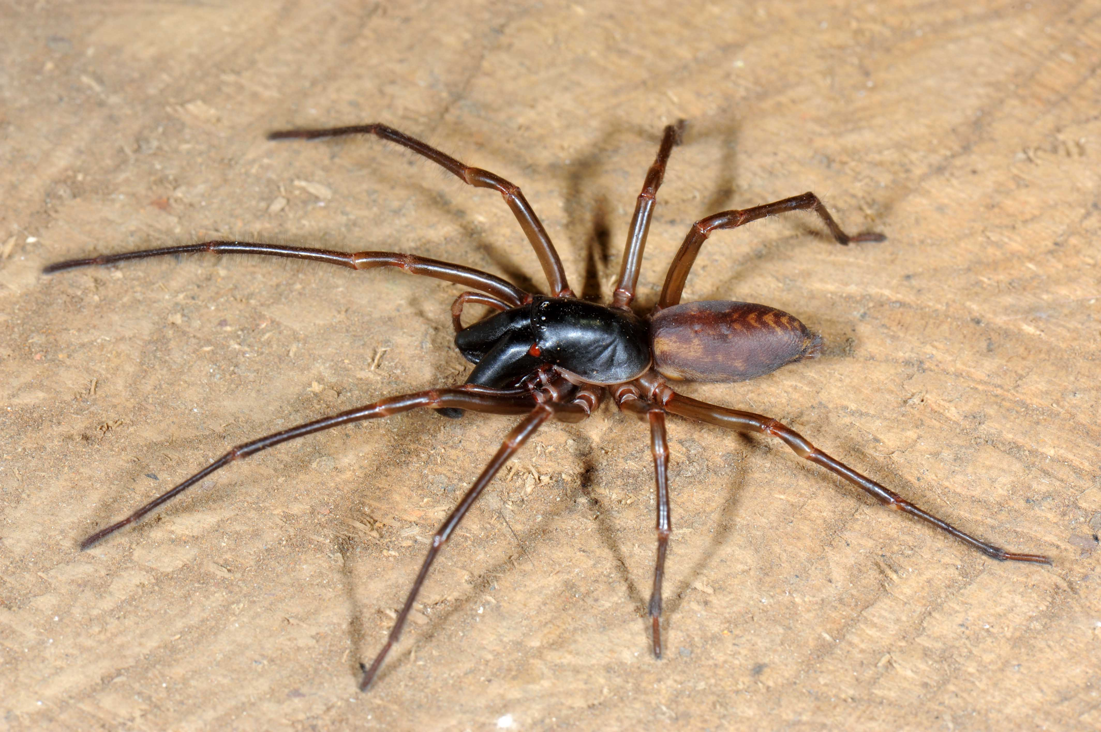 Castaway Ghost Spiders Flew to Robinson Crusoe Island
