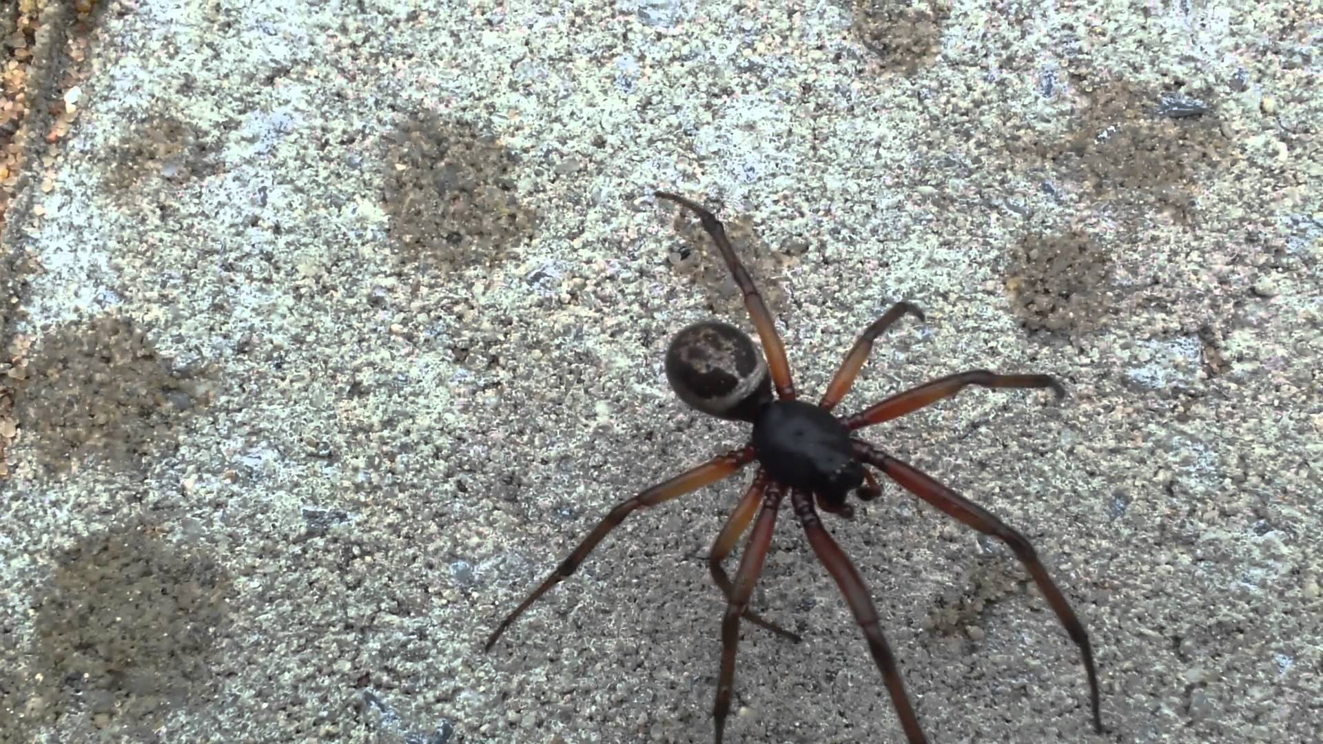 Large spider UK skull markings - YouTube