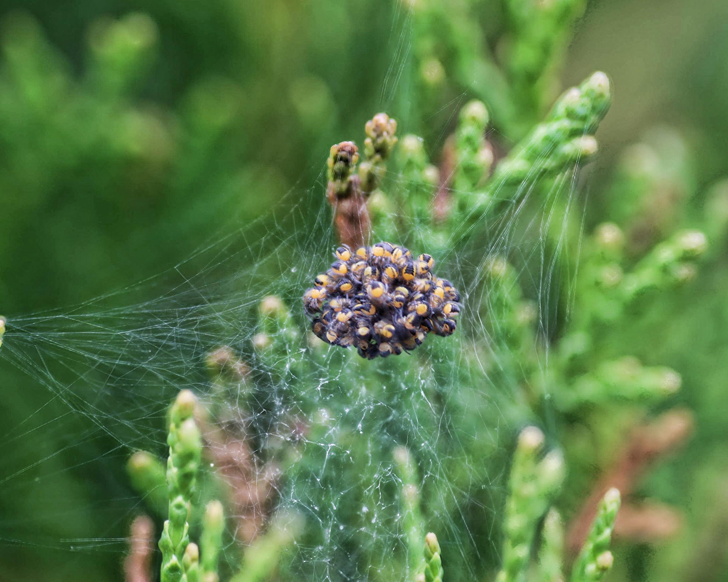 Spiders photo