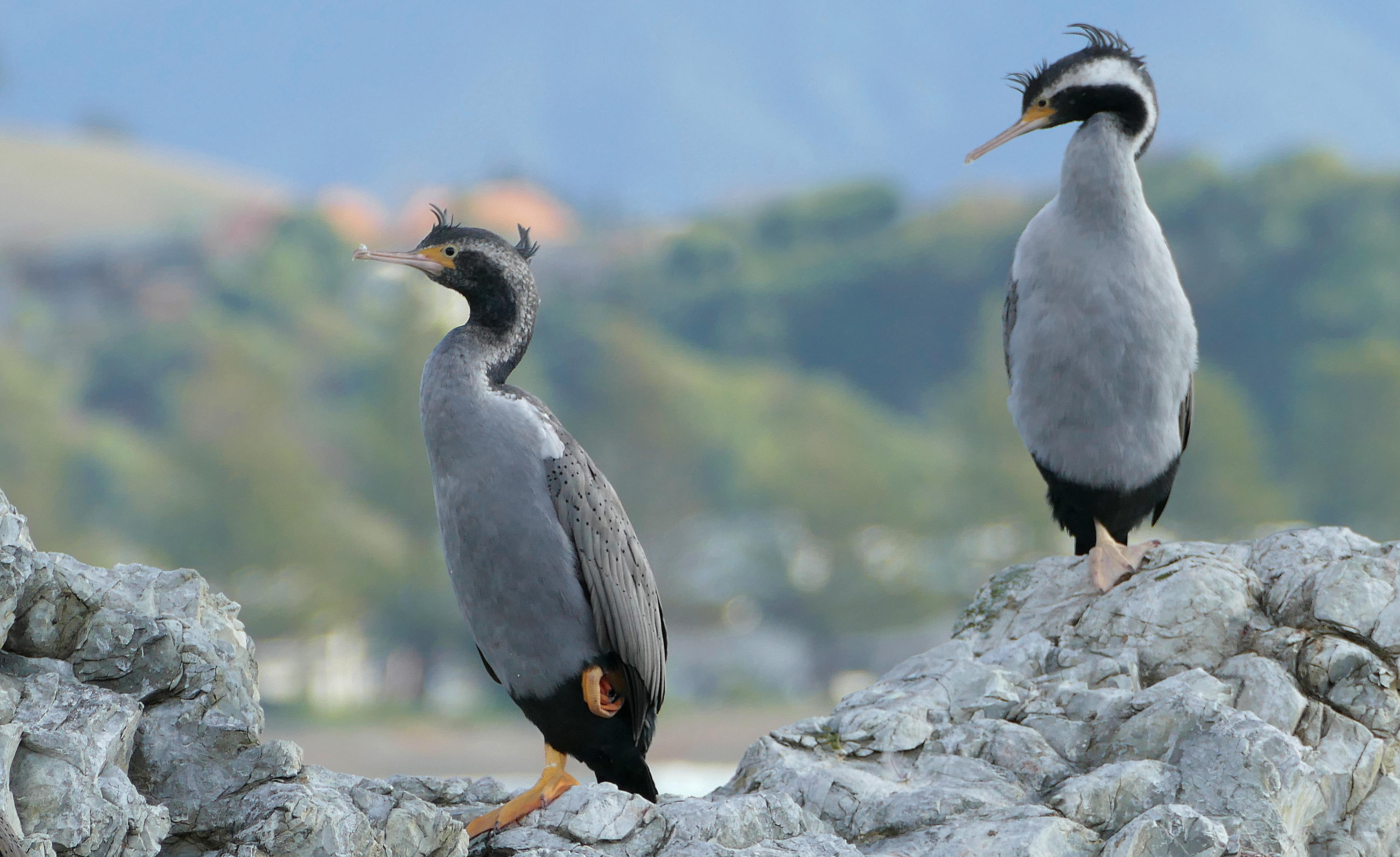 Spotted Shags. NZ, Animal, Bird, Bridge camera, Depth of field, HQ Photo