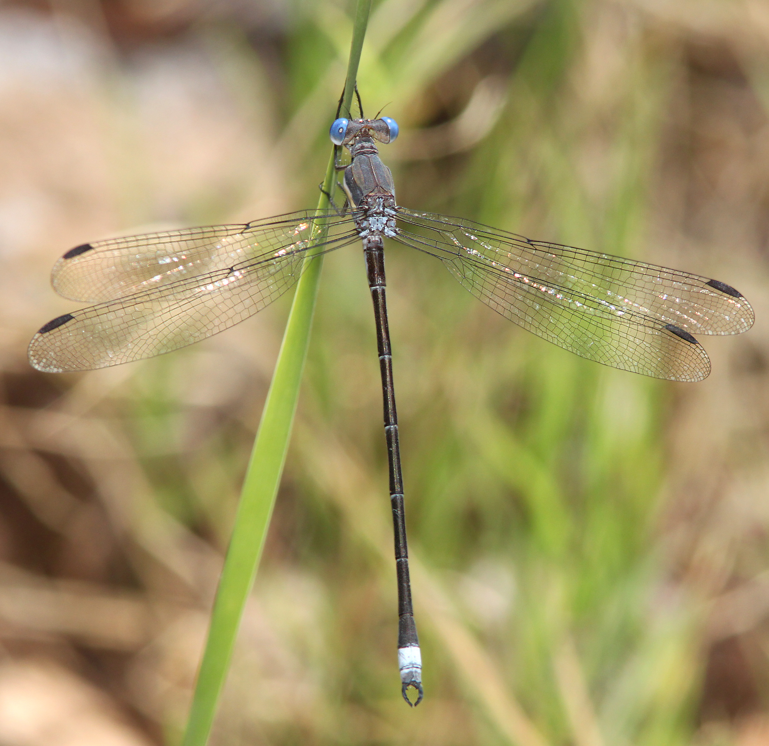 Spreadwing, great (archilastes grandis) (7-8-12) lower humboldt canyon, patagonia mts, scc, az -01 photo