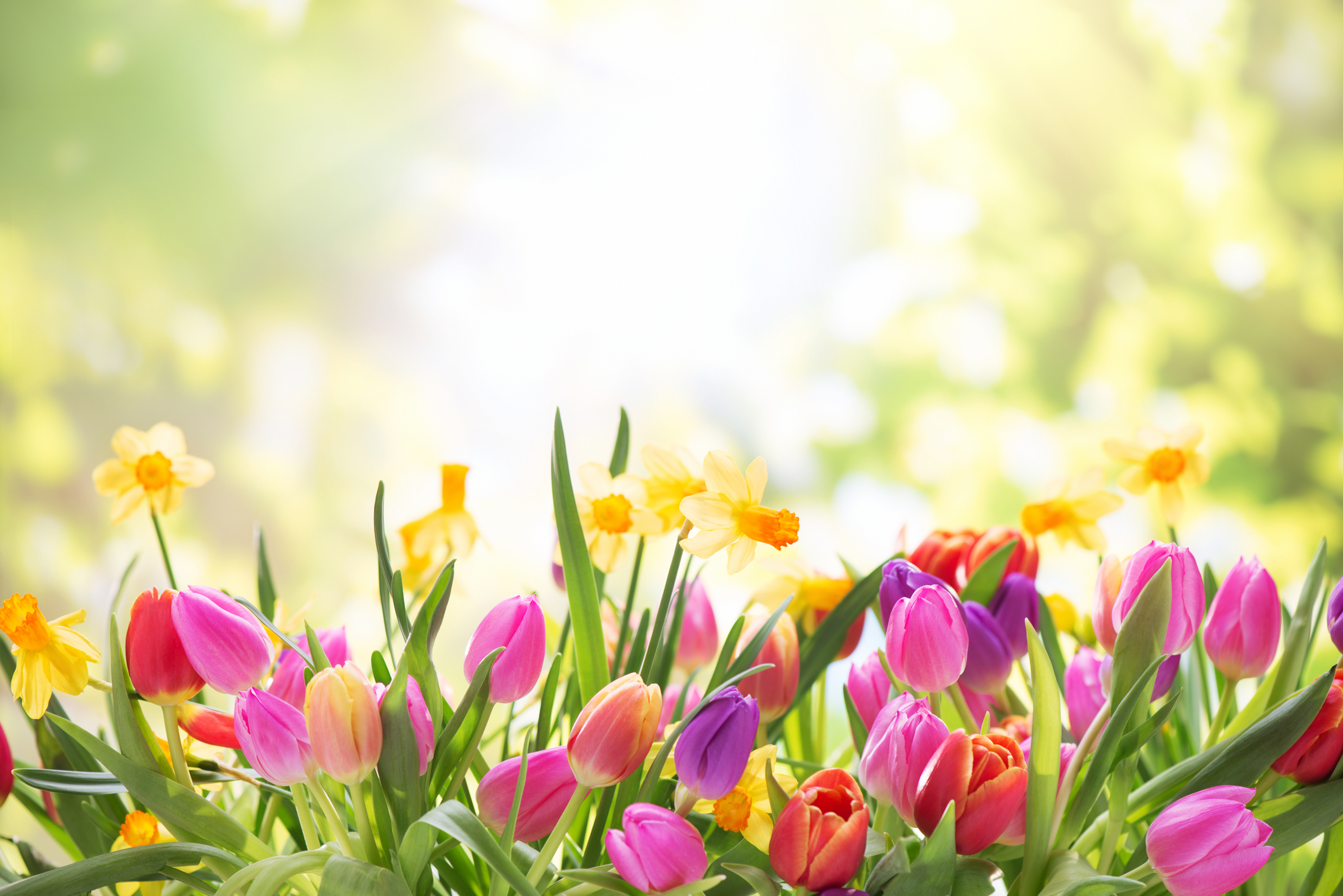 Spring in full bloom in at Chilliwack Tulip Festival - NEWS 1130