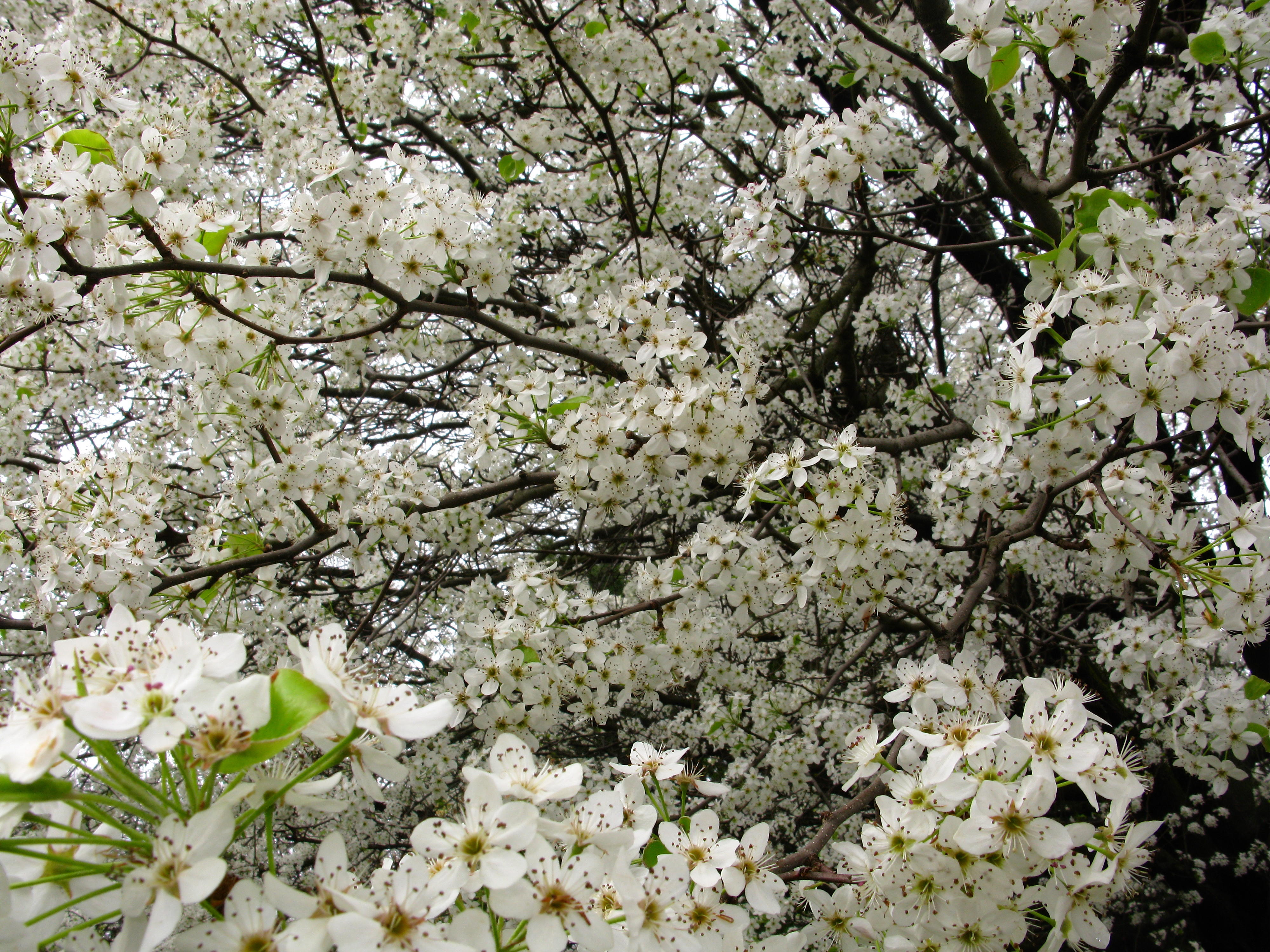 White Blooming Trees Image Home Garden And Tree Rtecx