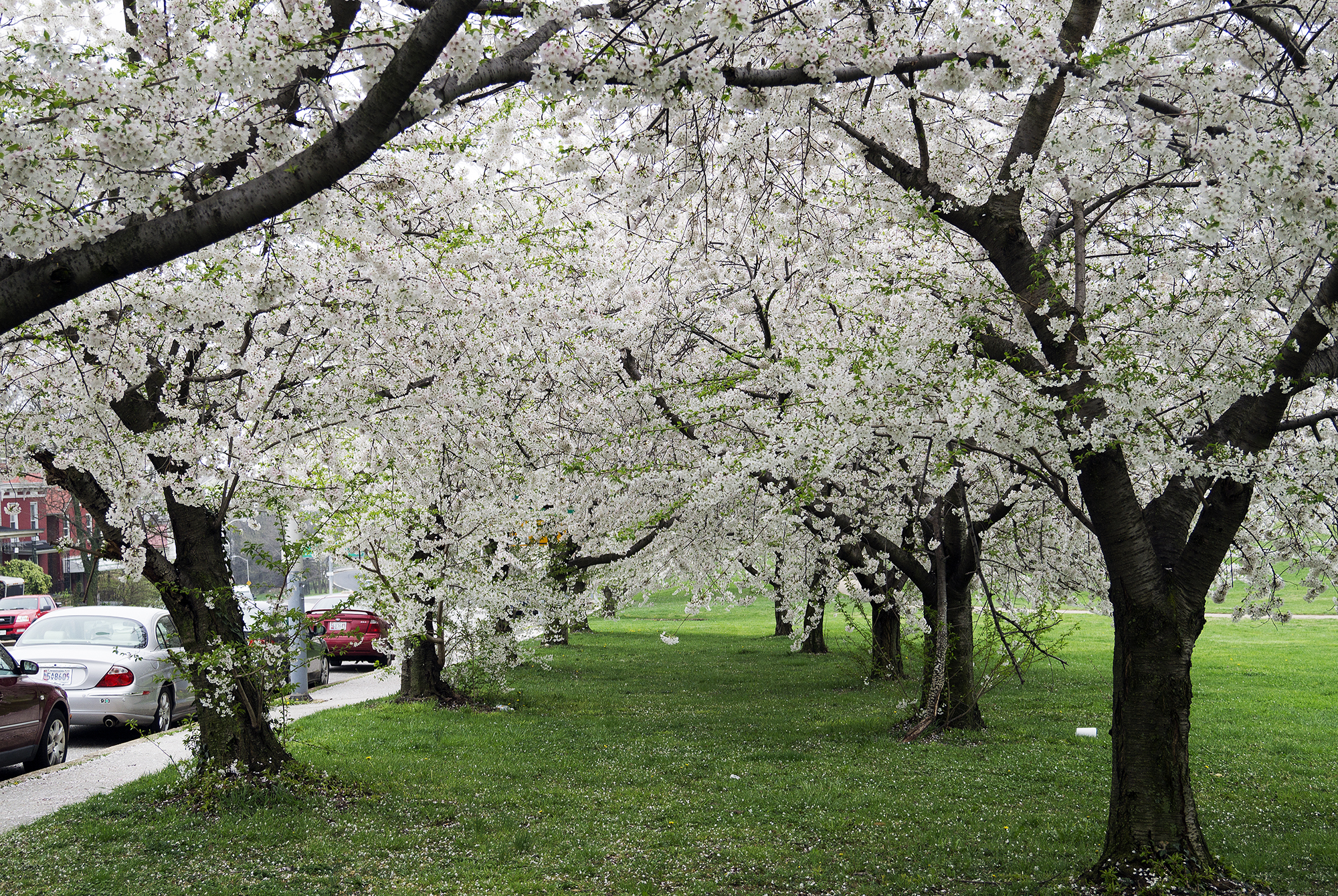 Energy Pics Of Trees In Spring File Cherry Blo #2443 - Unknown ...