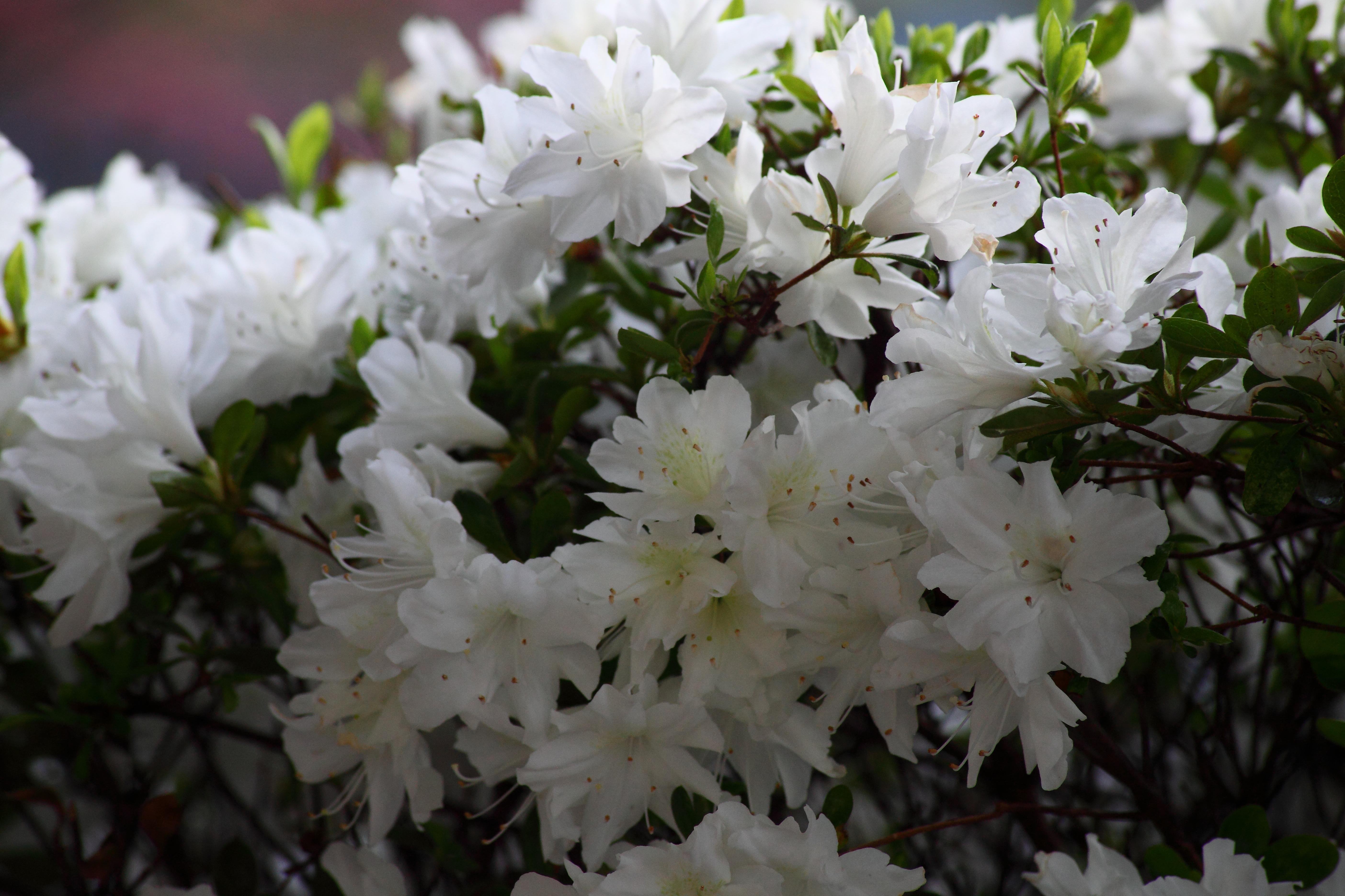 Spring white flower photo