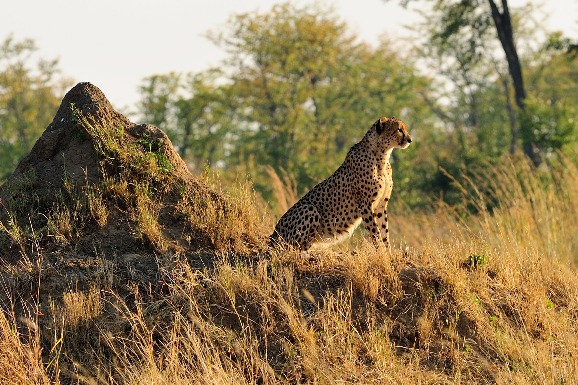 Sprinting cheetah abstract photo
