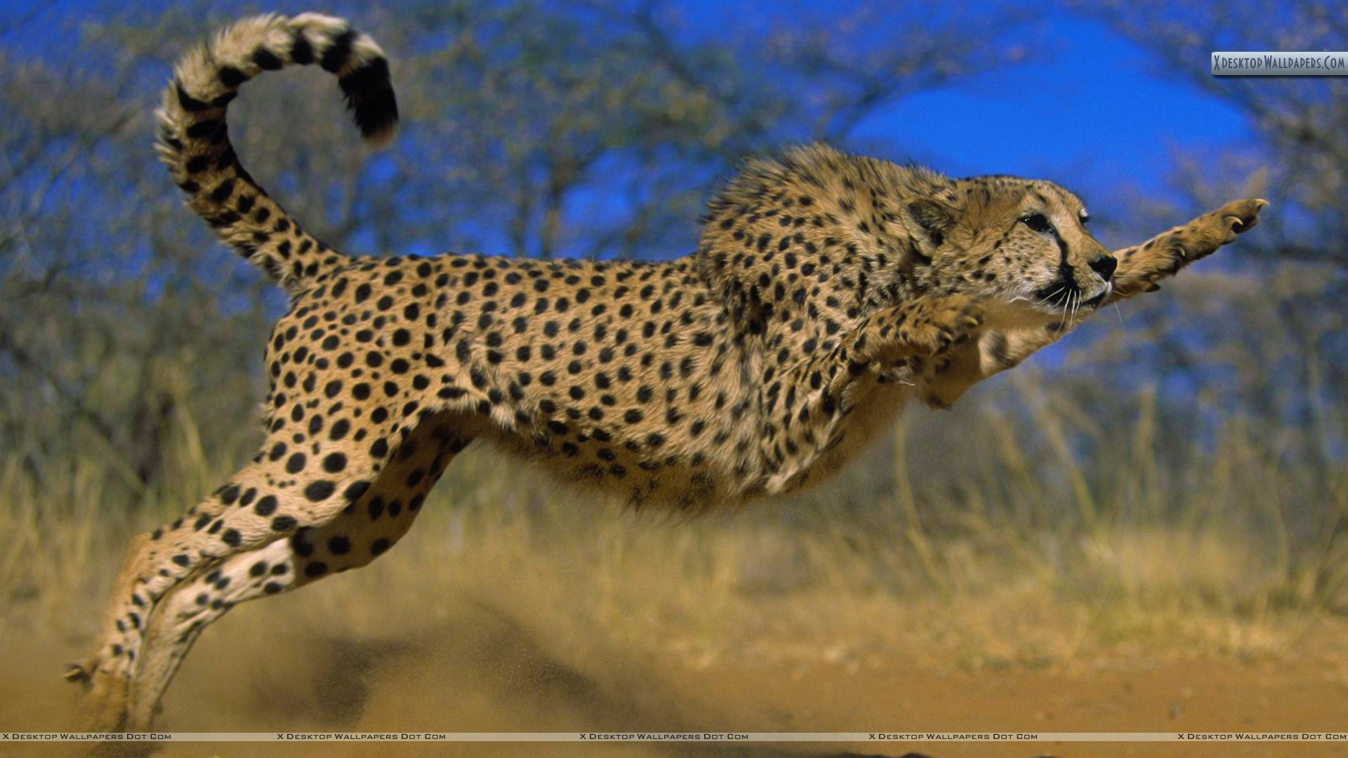Cheetah | Bouncing Cheetah HD large resolution picture | Mother ...