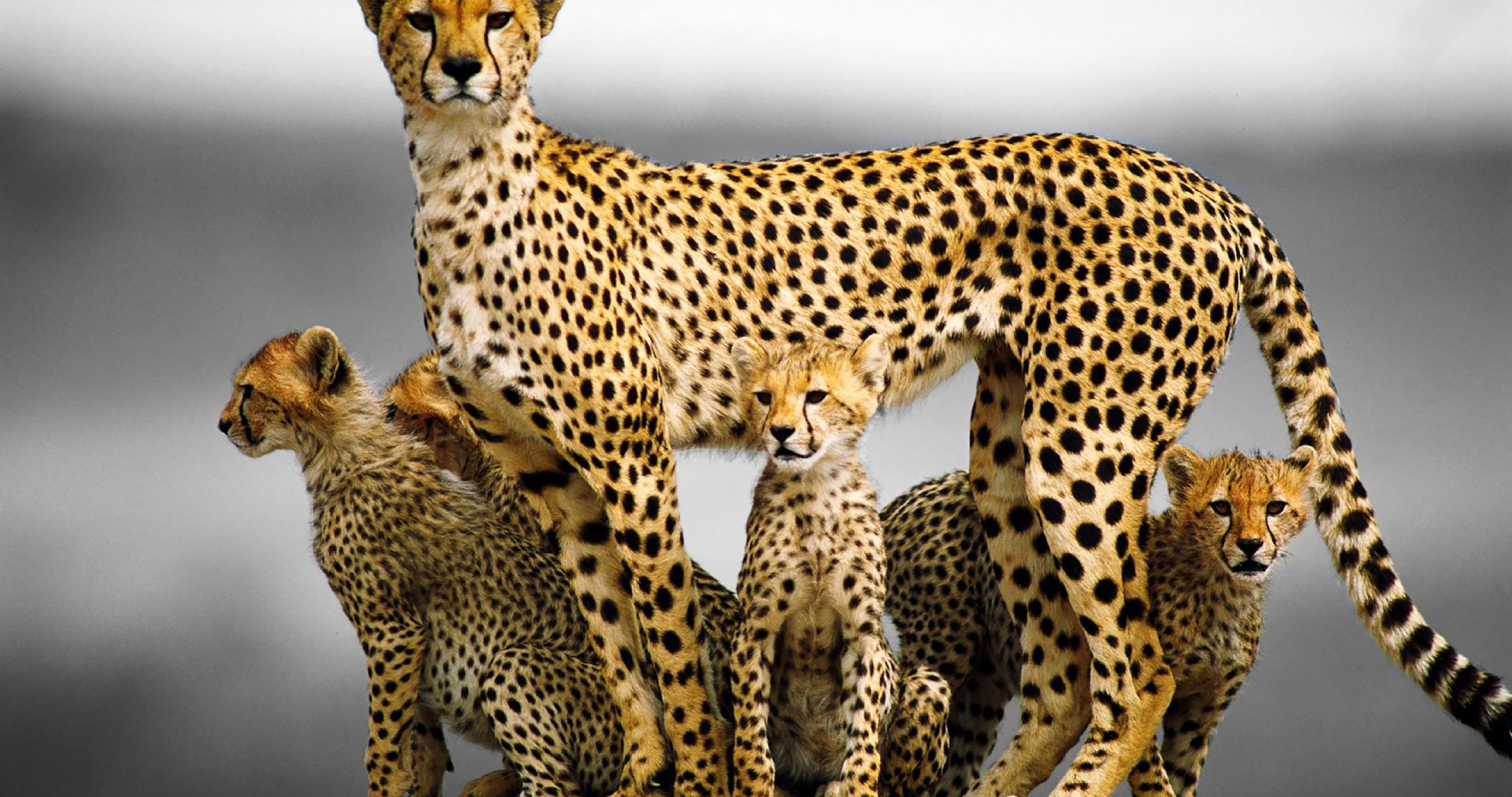 cheetah family 4k ultra hd wallpaper » High quality walls