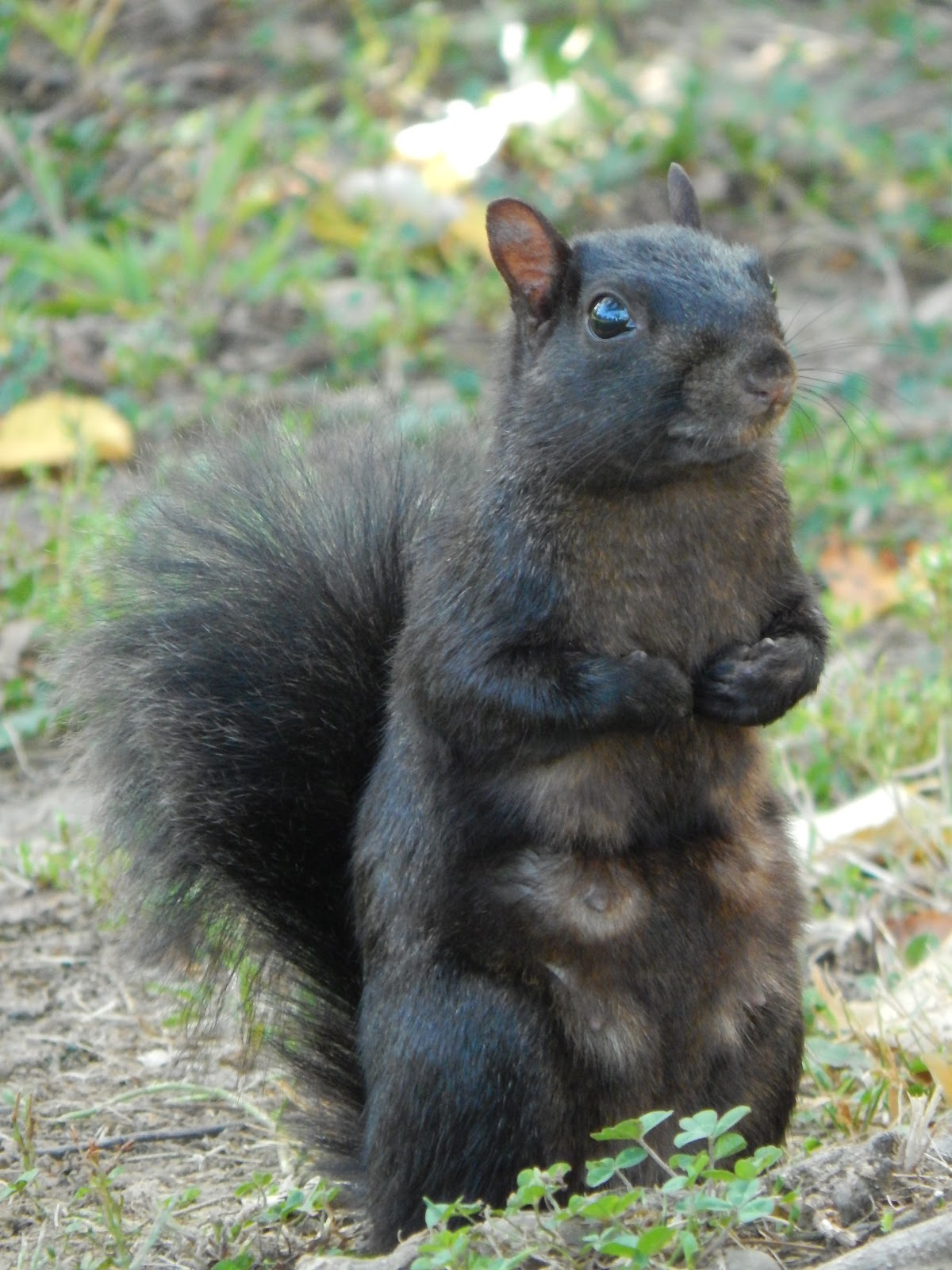 Capital Naturalist by Alonso Abugattas: Black Gray Squirrels?