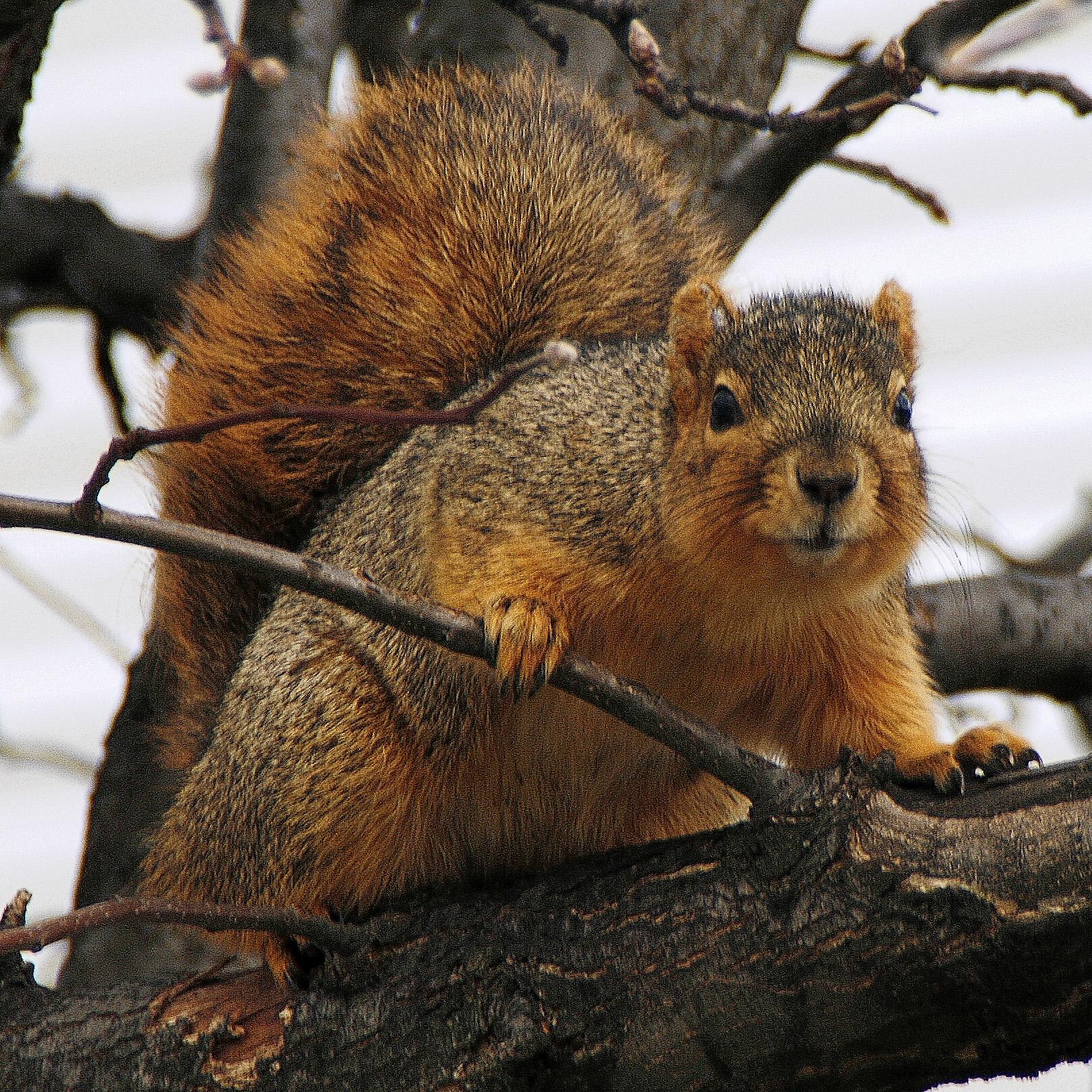 Utah Fox Squirrels | Natural History Museum of Utah