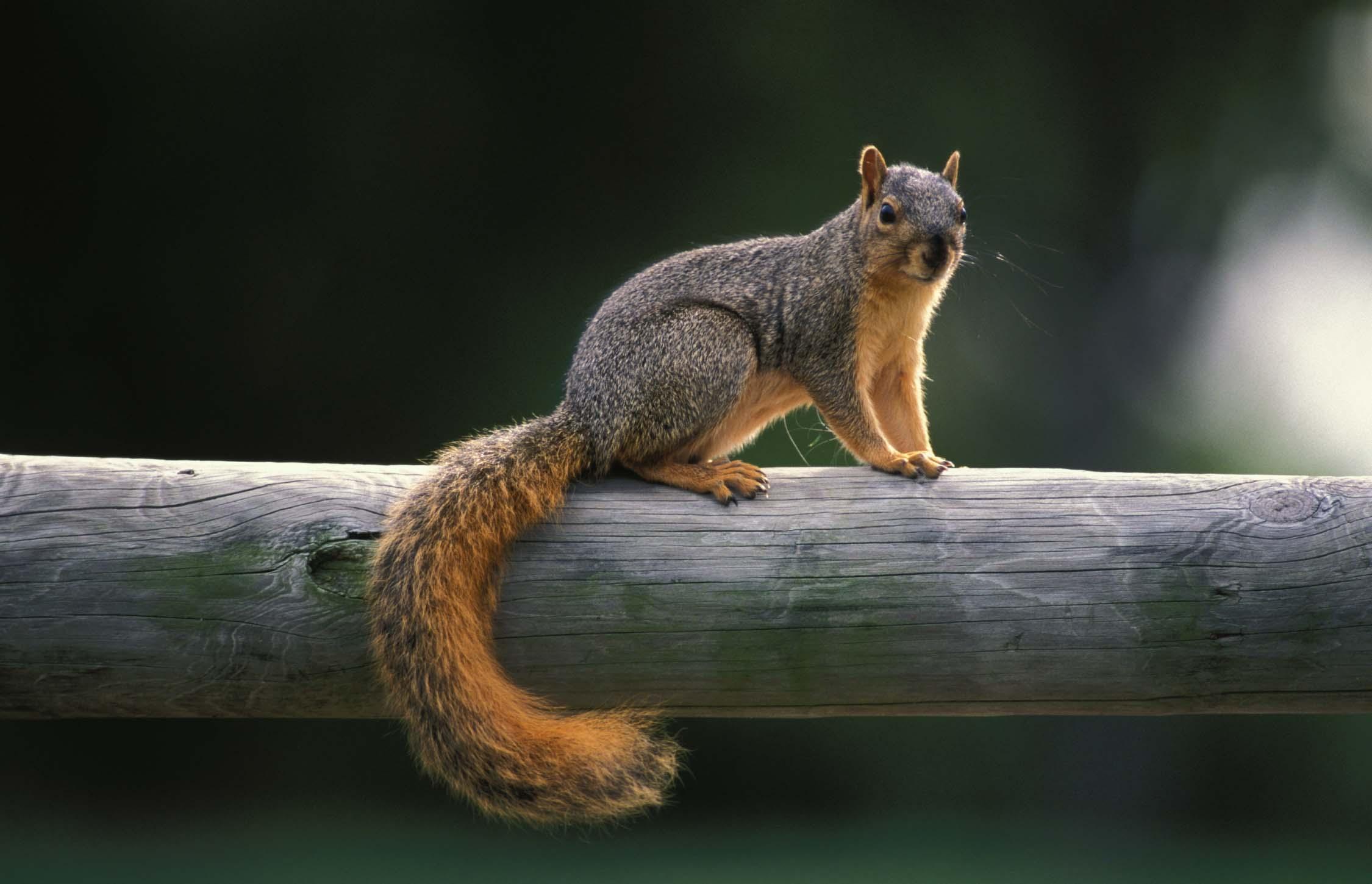 Squirrel Control | Missouri Department of Conservation