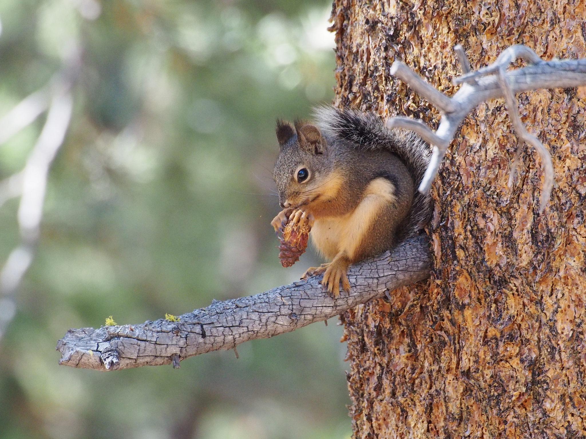 Pine squirrels love, love, love their pines! | Welcome Wildlife