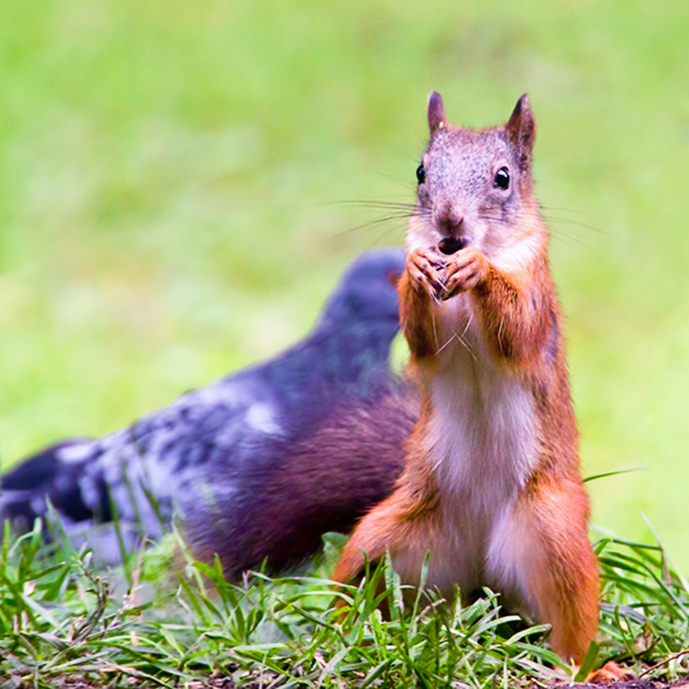 Squirrel, Animal, Wild, Tail, Red, HQ Photo