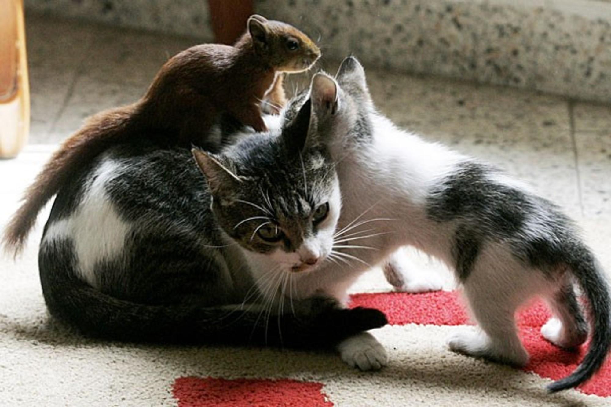 Cat Nurses Adopted Squirrel - Love Meow