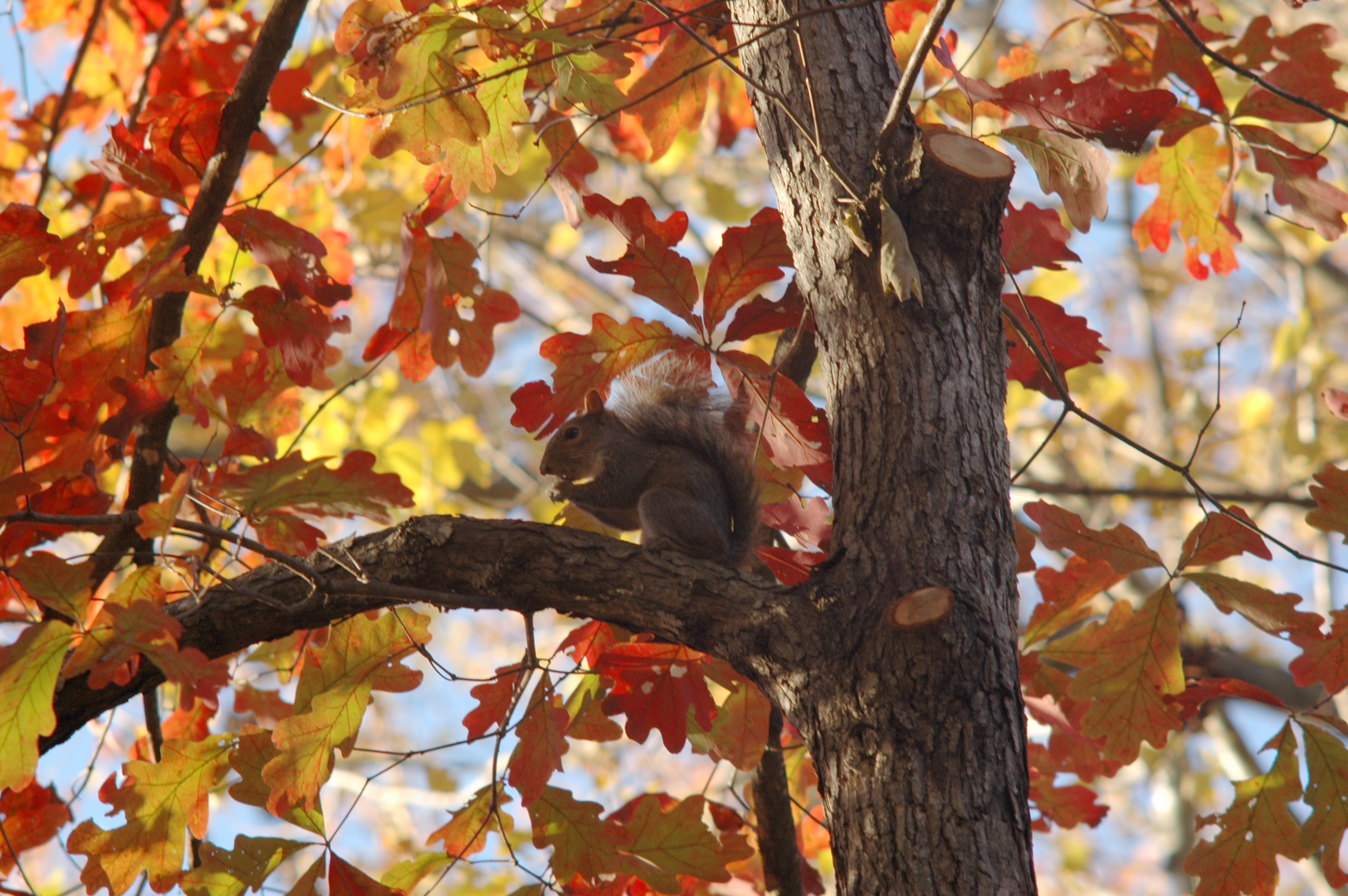 Squirrel in a fall tree photo