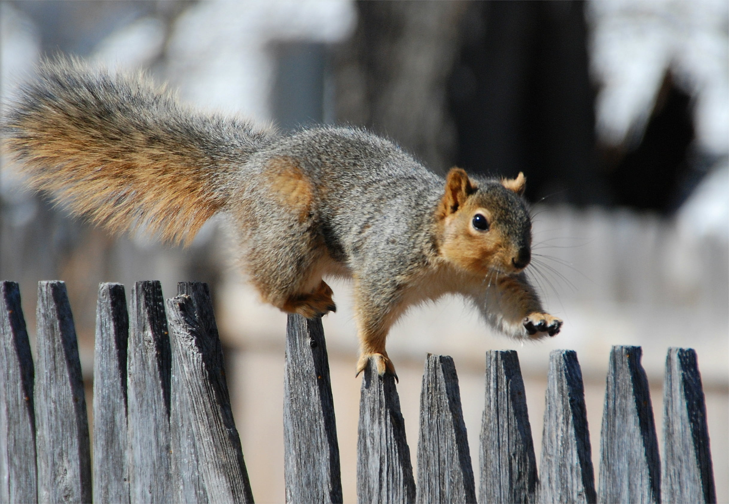 Squirrel on fence photo