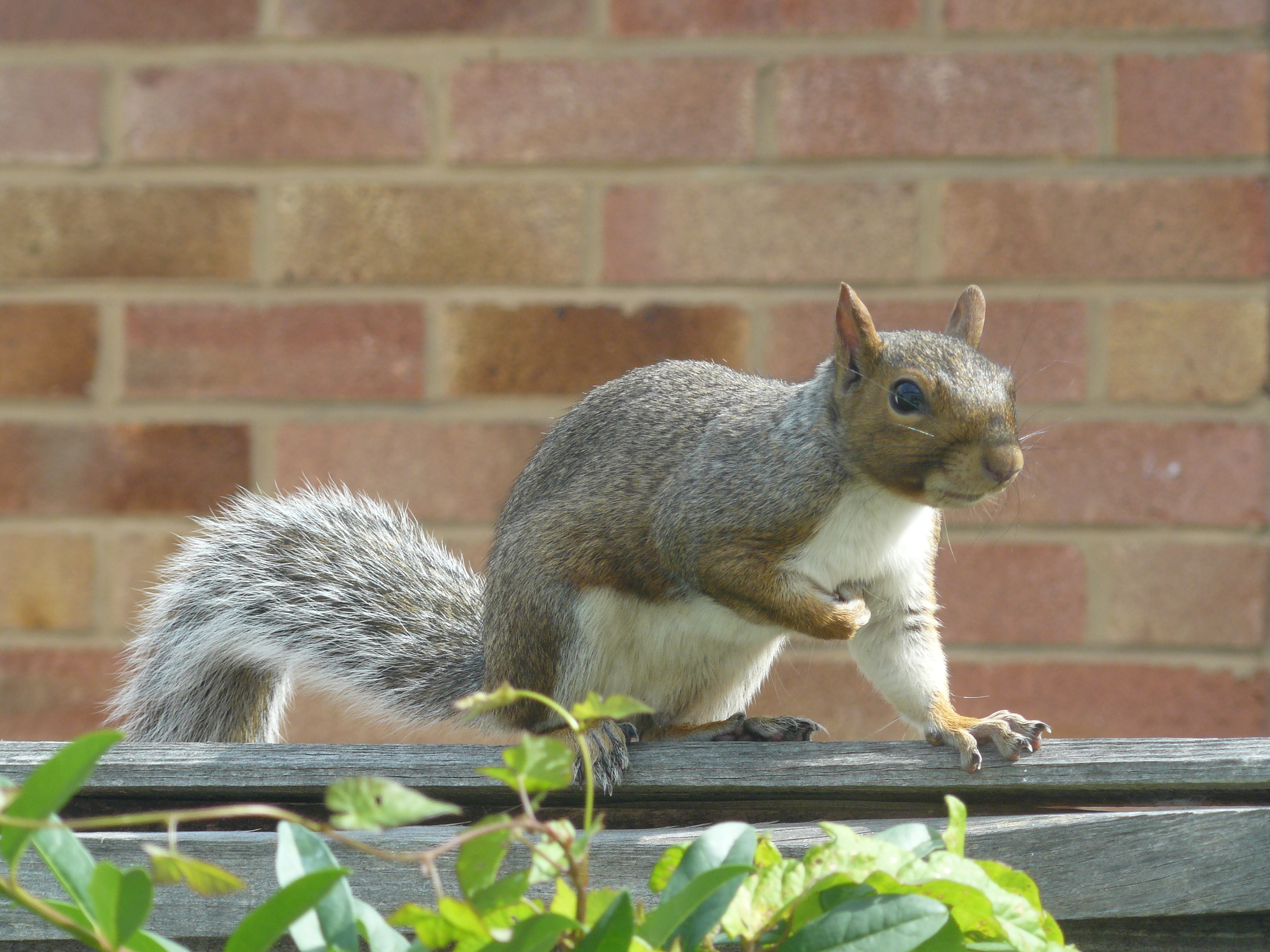 File:Grey-Squirrel-On-Garden-Fence-UK-Side-View.JPG - Wikimedia Commons