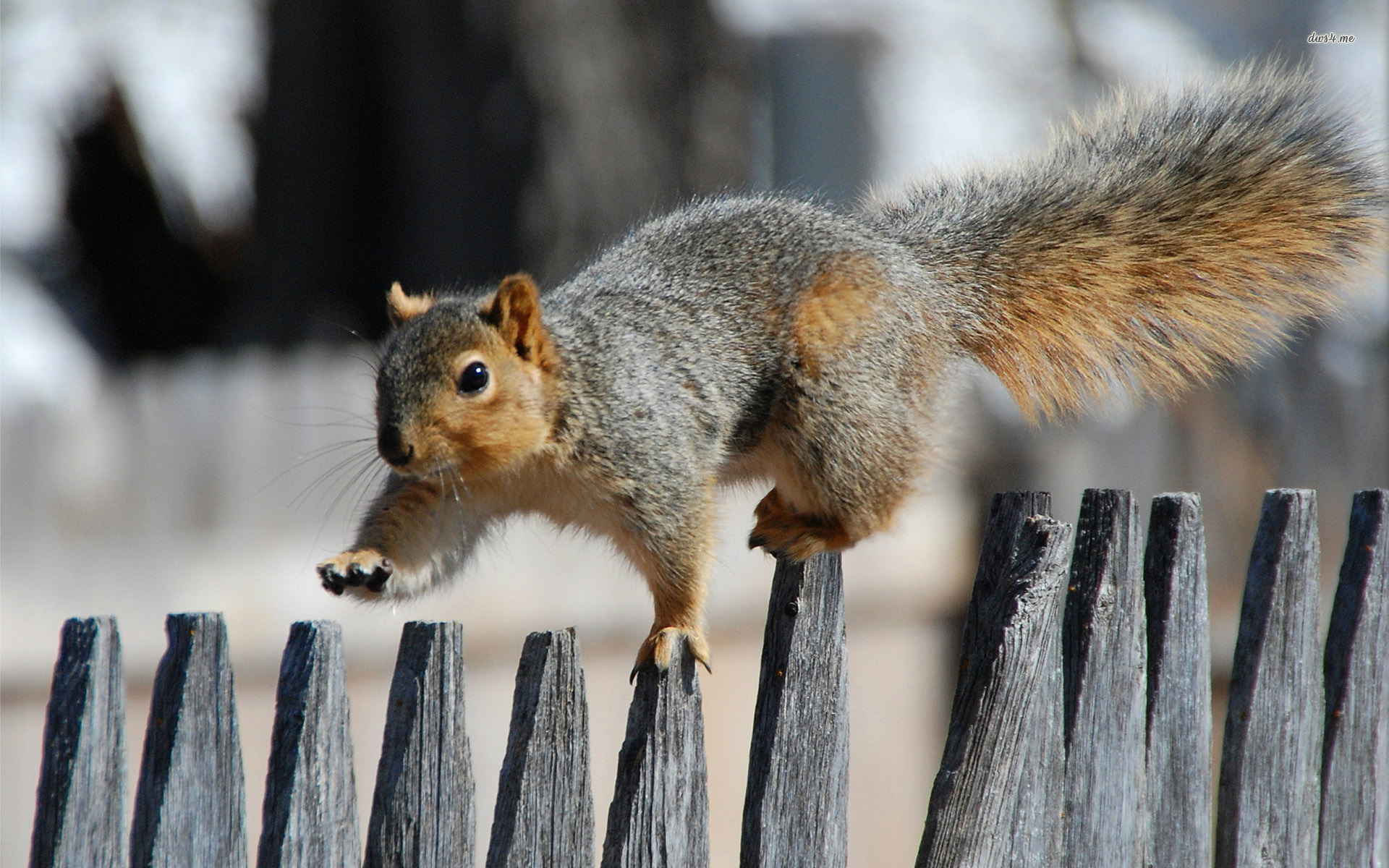 Squirrel Fence wallpaper | 1920x1200 | #14326