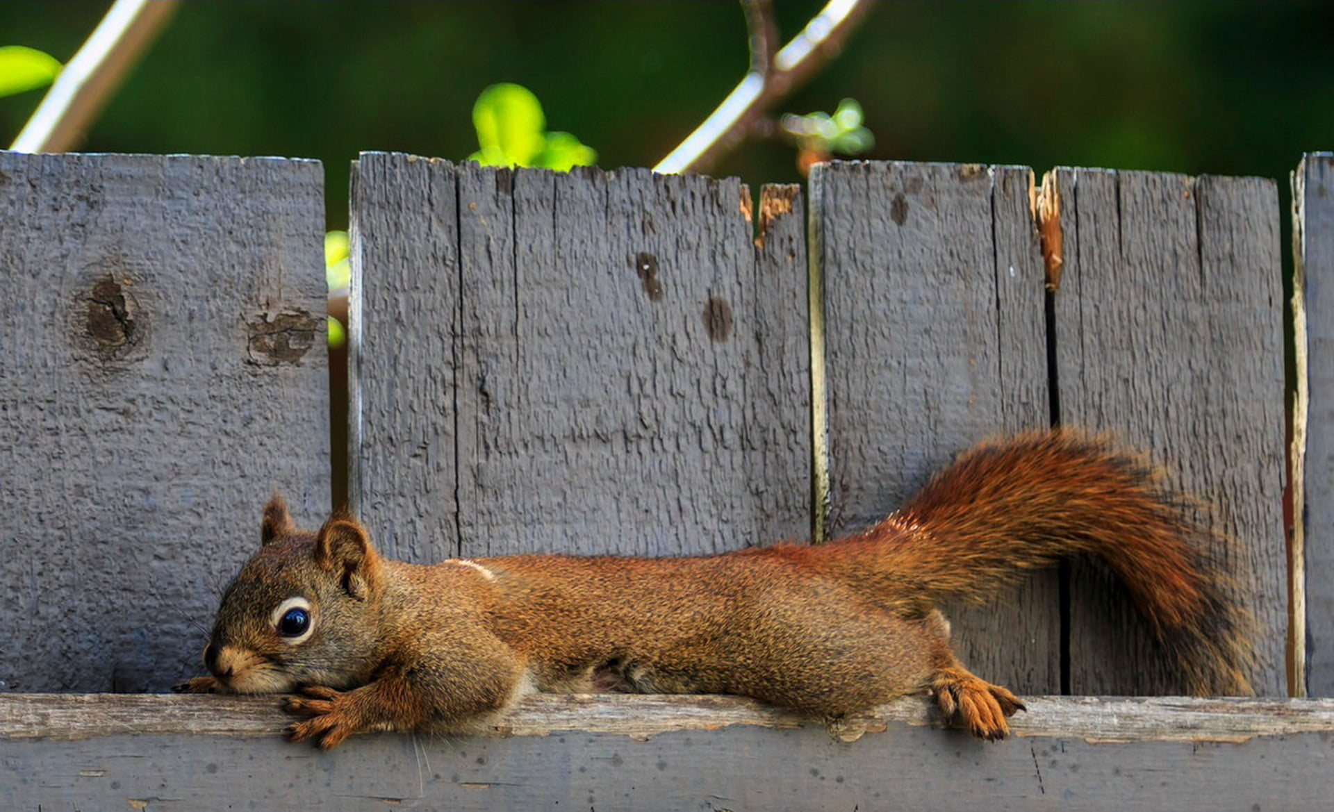 Squirrel on wooden fence HD wallpaper | Wallpaper Flare