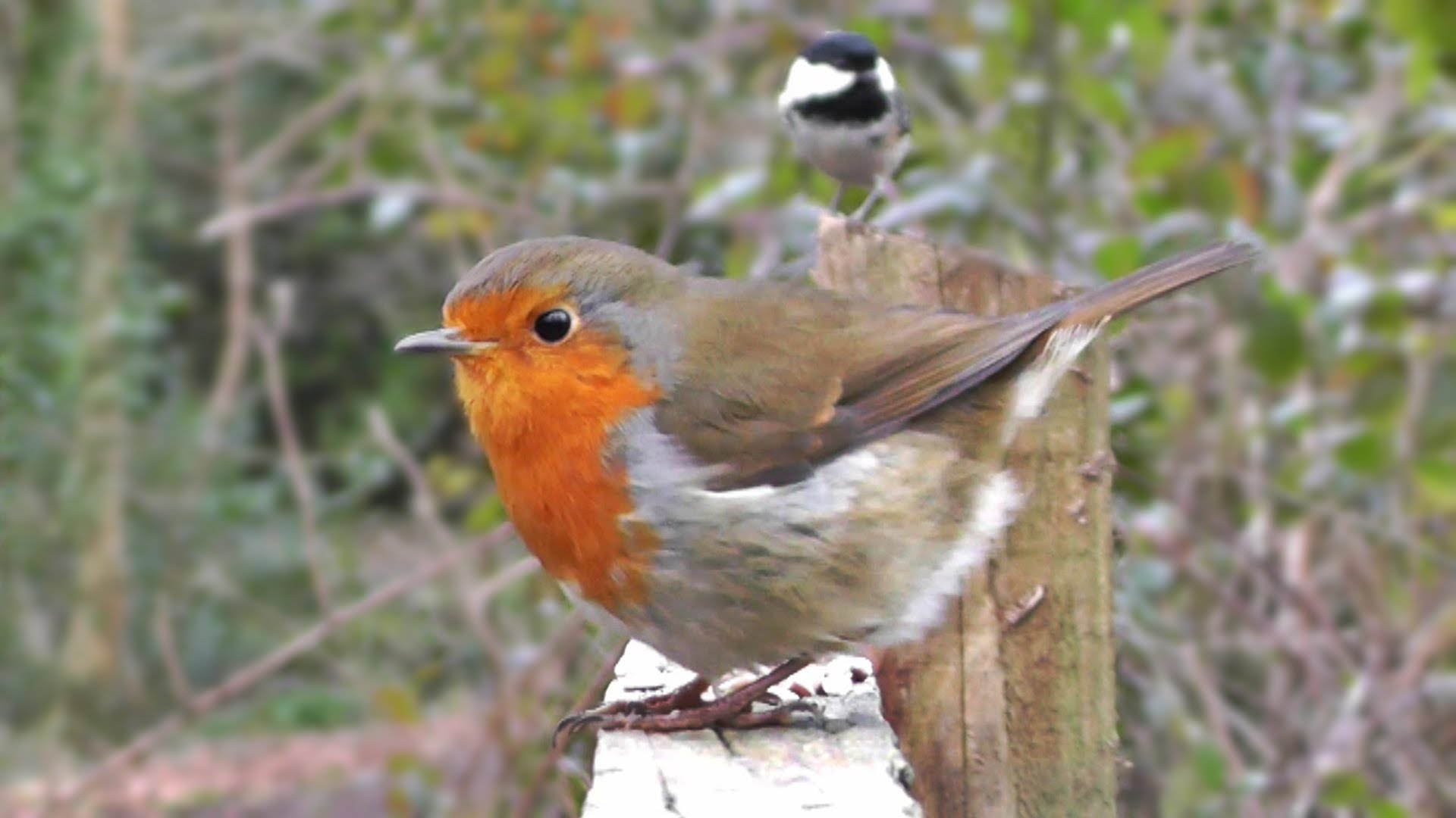 Videos for Cats to Watch - Birds and Squirrel on The Fence - YouTube