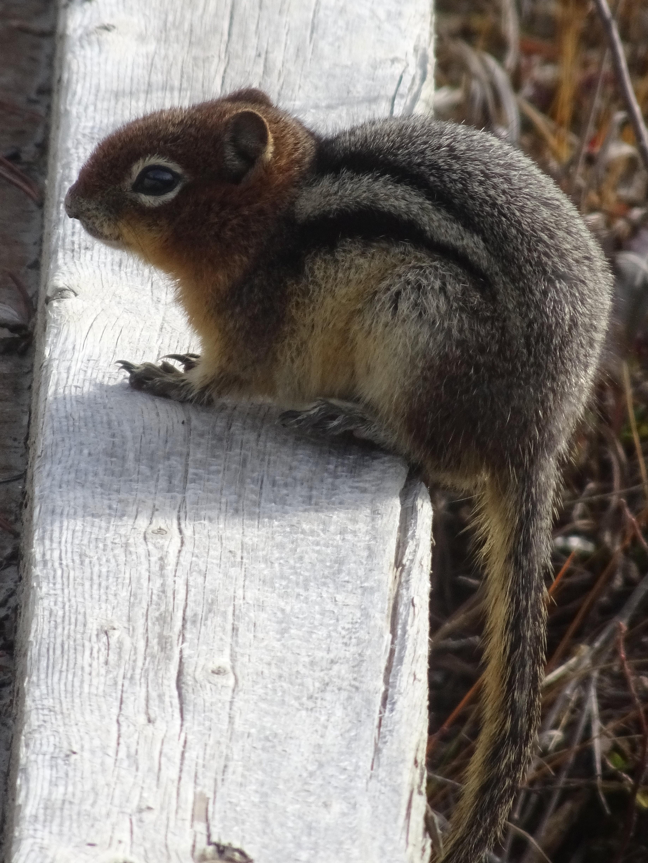 Squirrel on wood photo