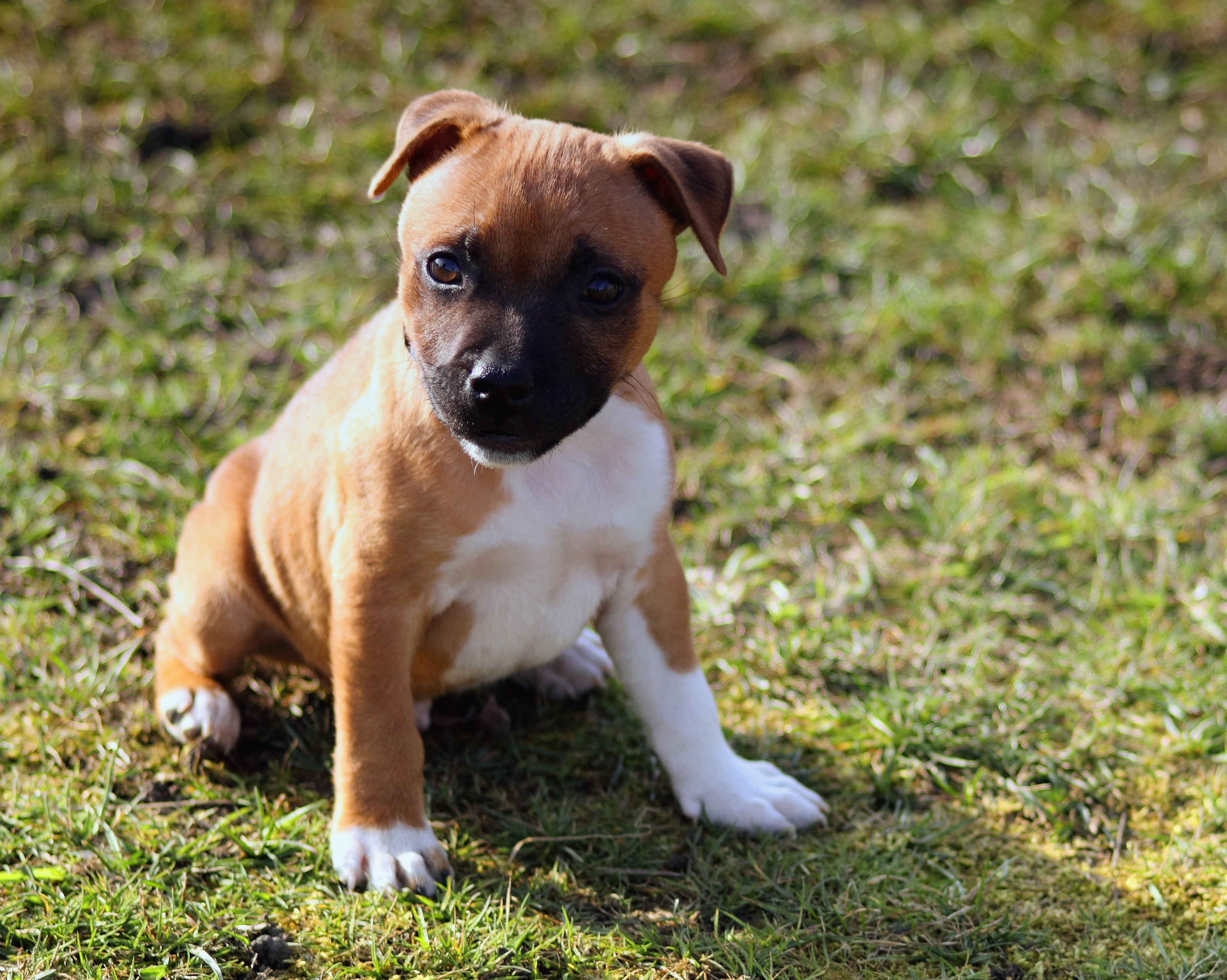 Stafford-Shire Bull-terrier Puppy, Animals, Pets, Sweet, Staffordshire, HQ Photo