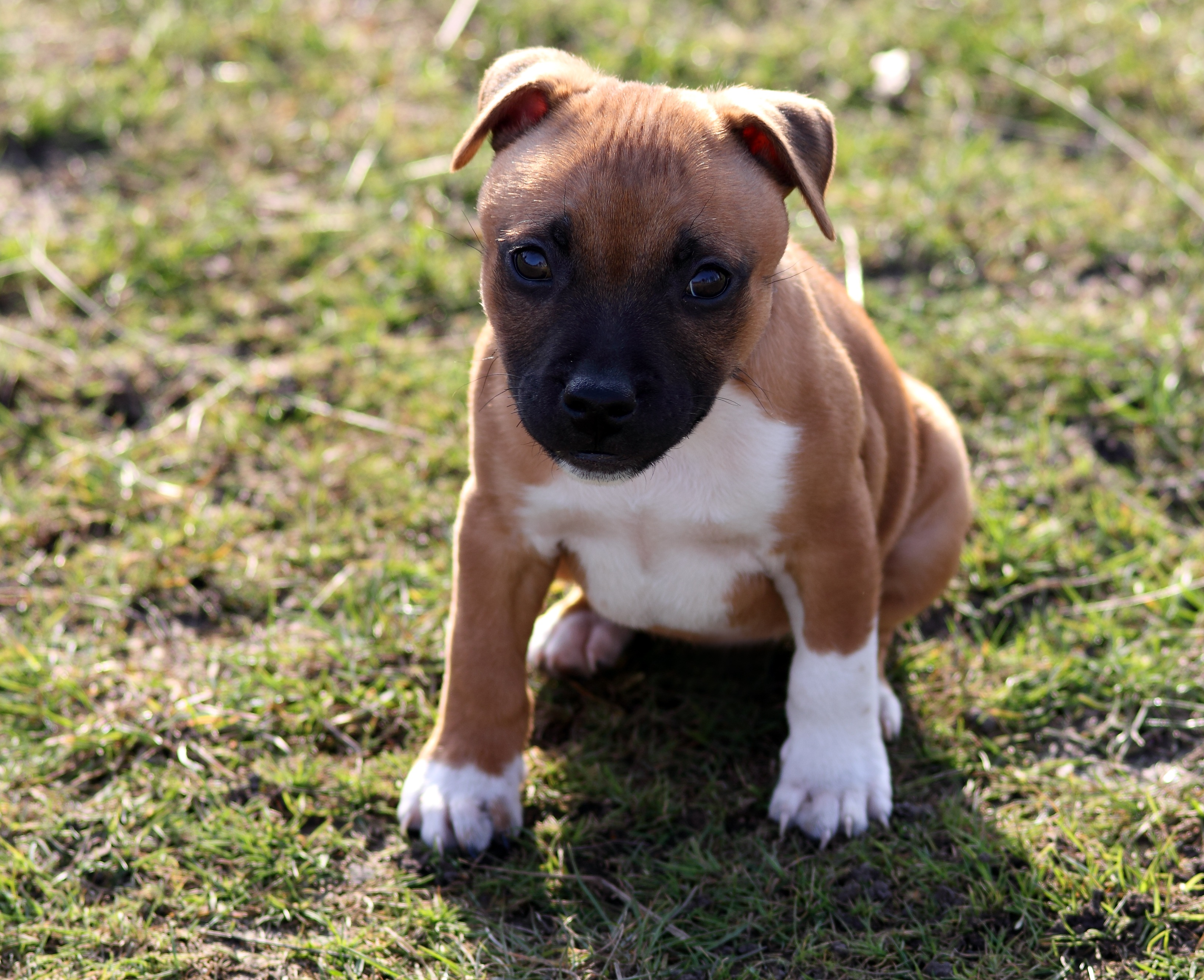 Stafford-shire bull-terrier puppy photo