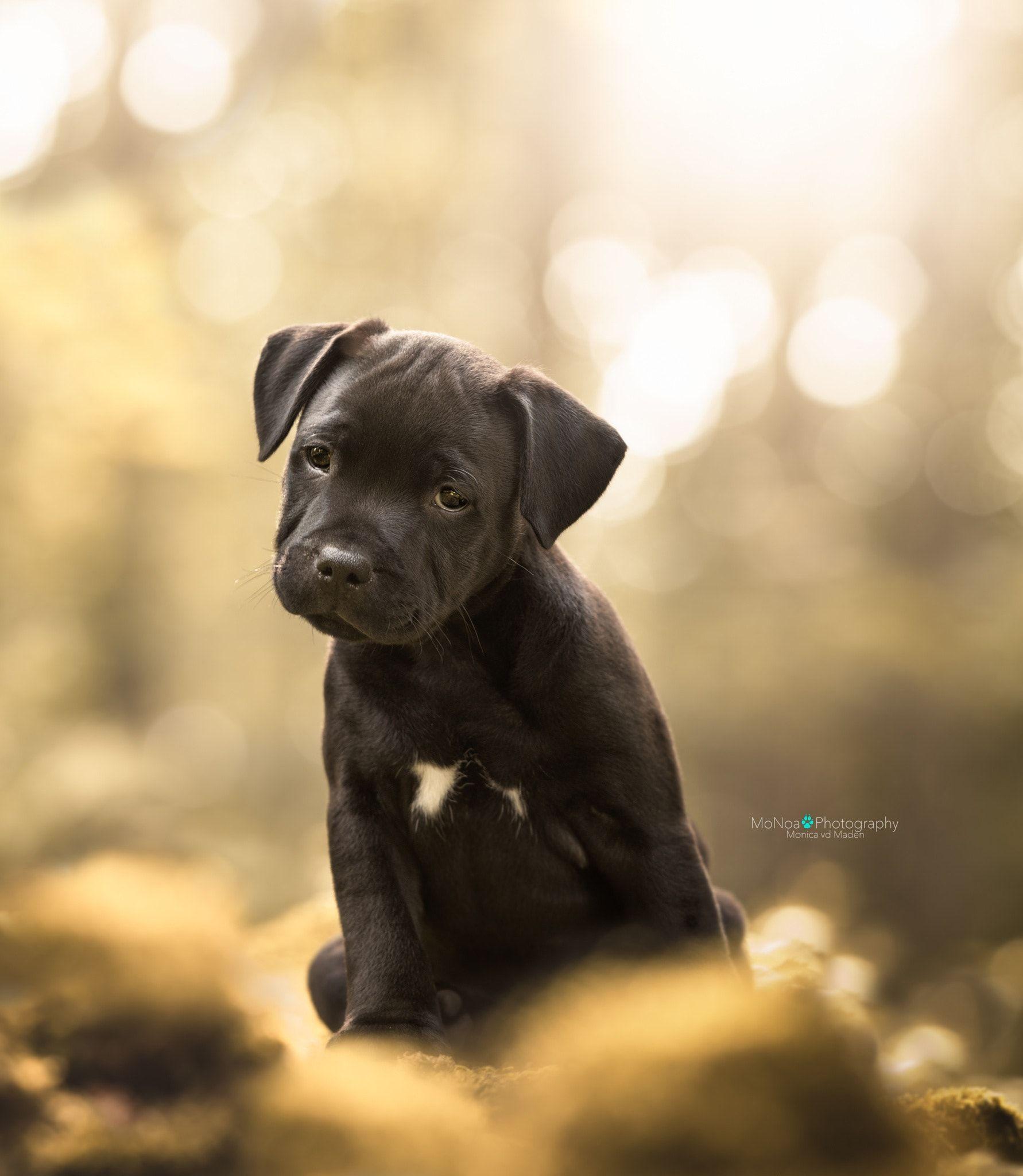 Sweet Puppy - Staffordshire bullterrier puppy | Must love dogs ...