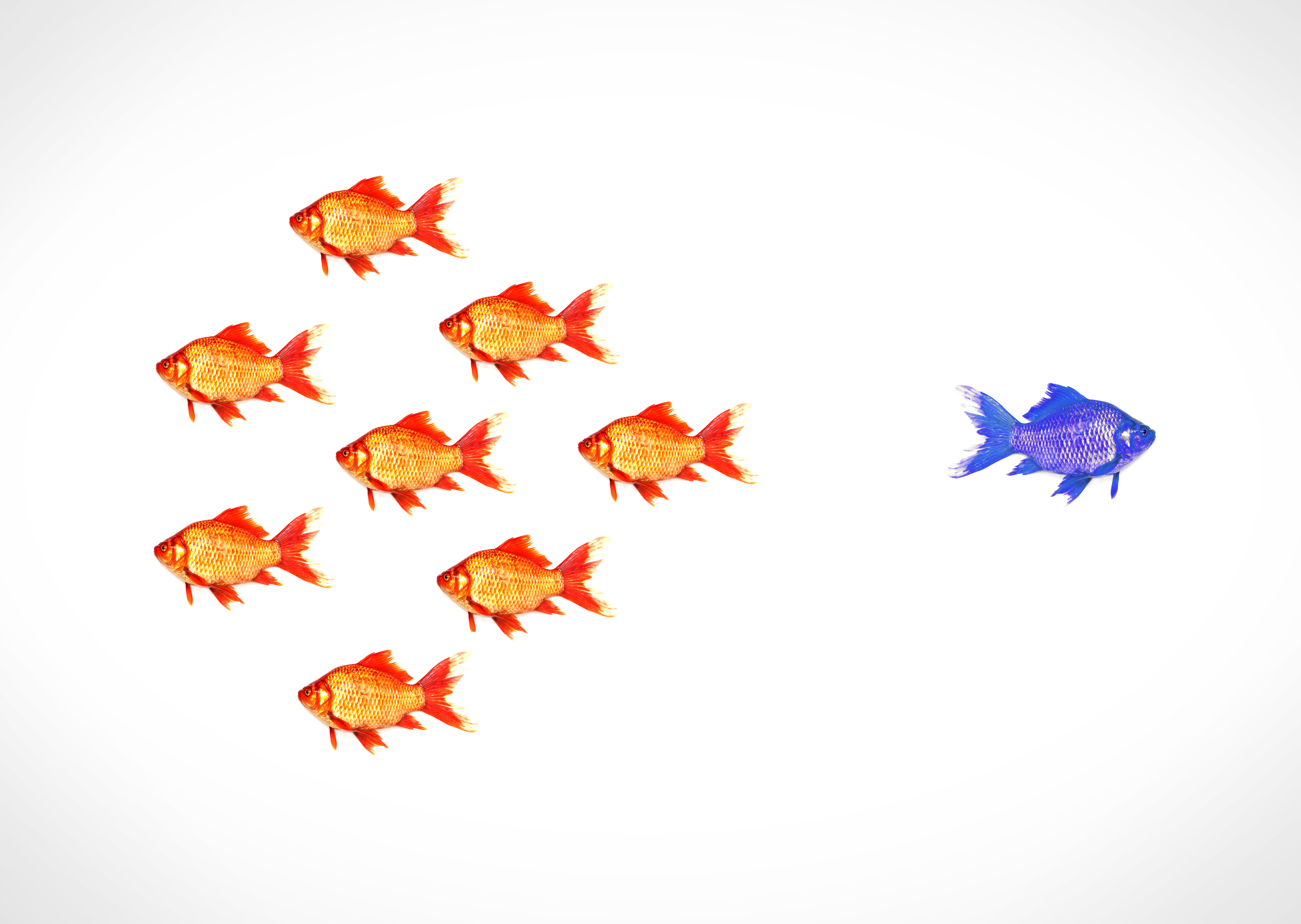 Standing out from the crowd - A blue goldfish escapes from the shoal, Against, Odd, Rare, Raised, HQ Photo