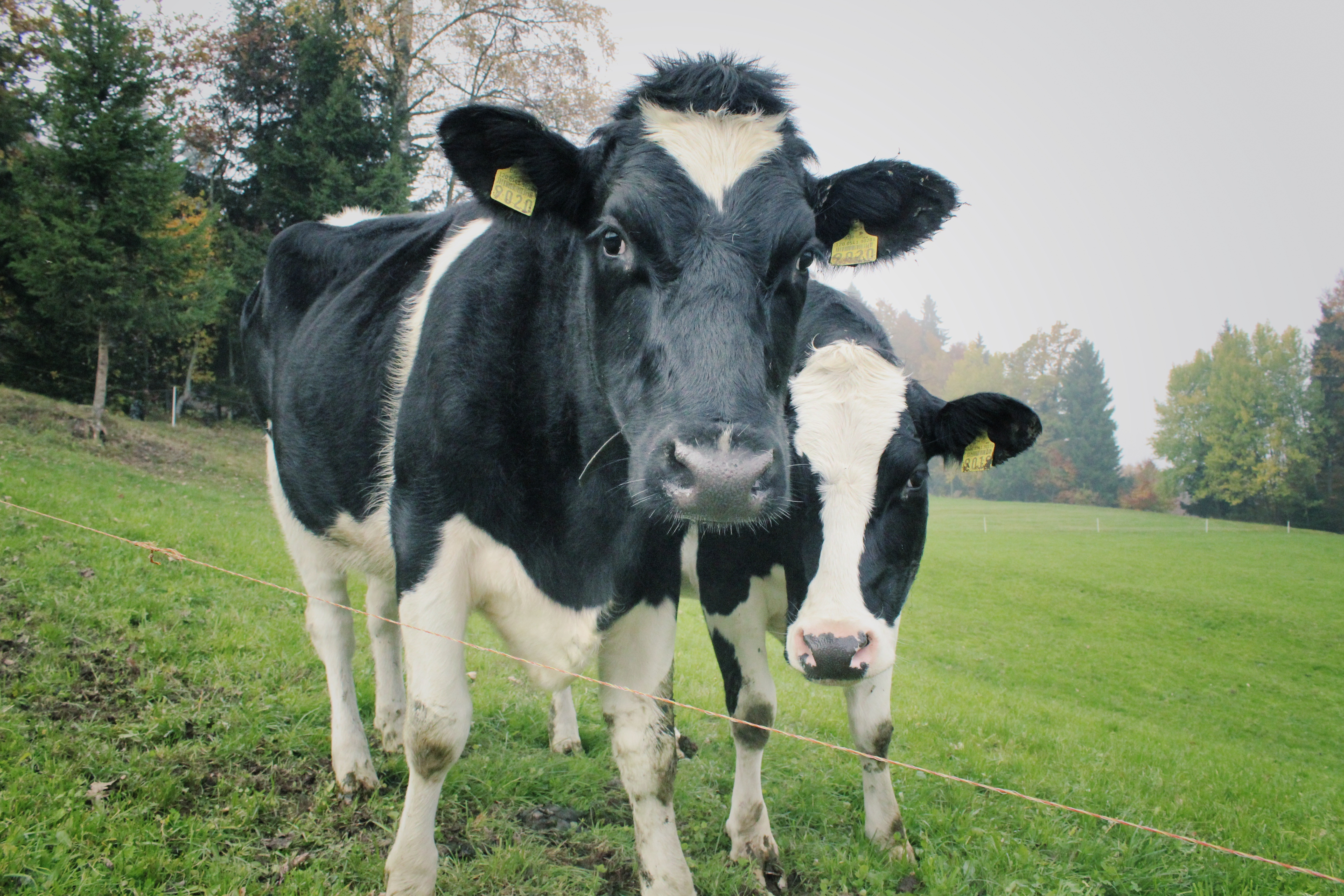 Staring cows photo