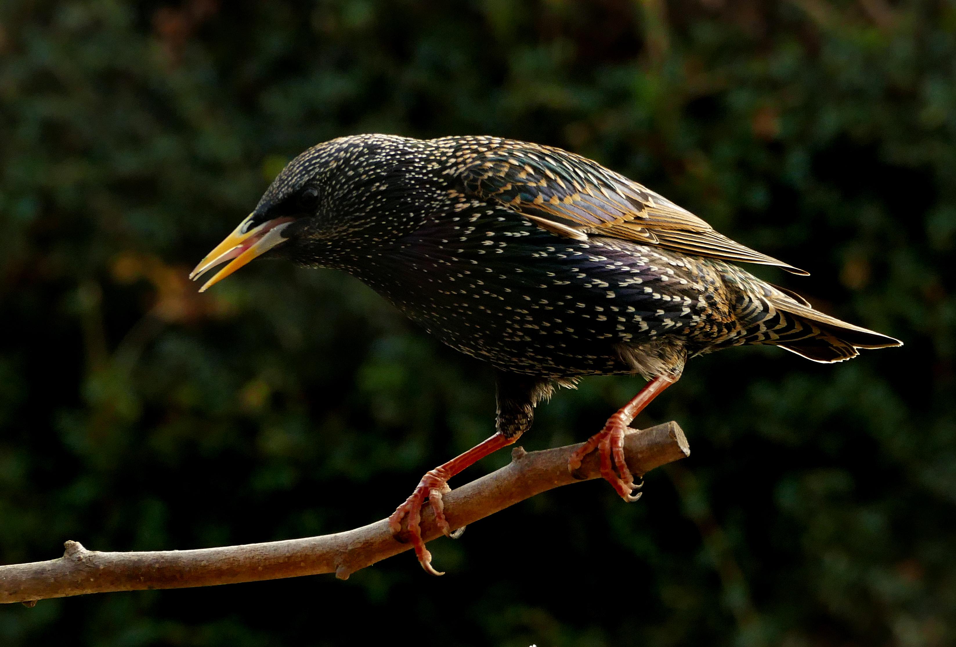 Starling (sternus vulgaris) photo