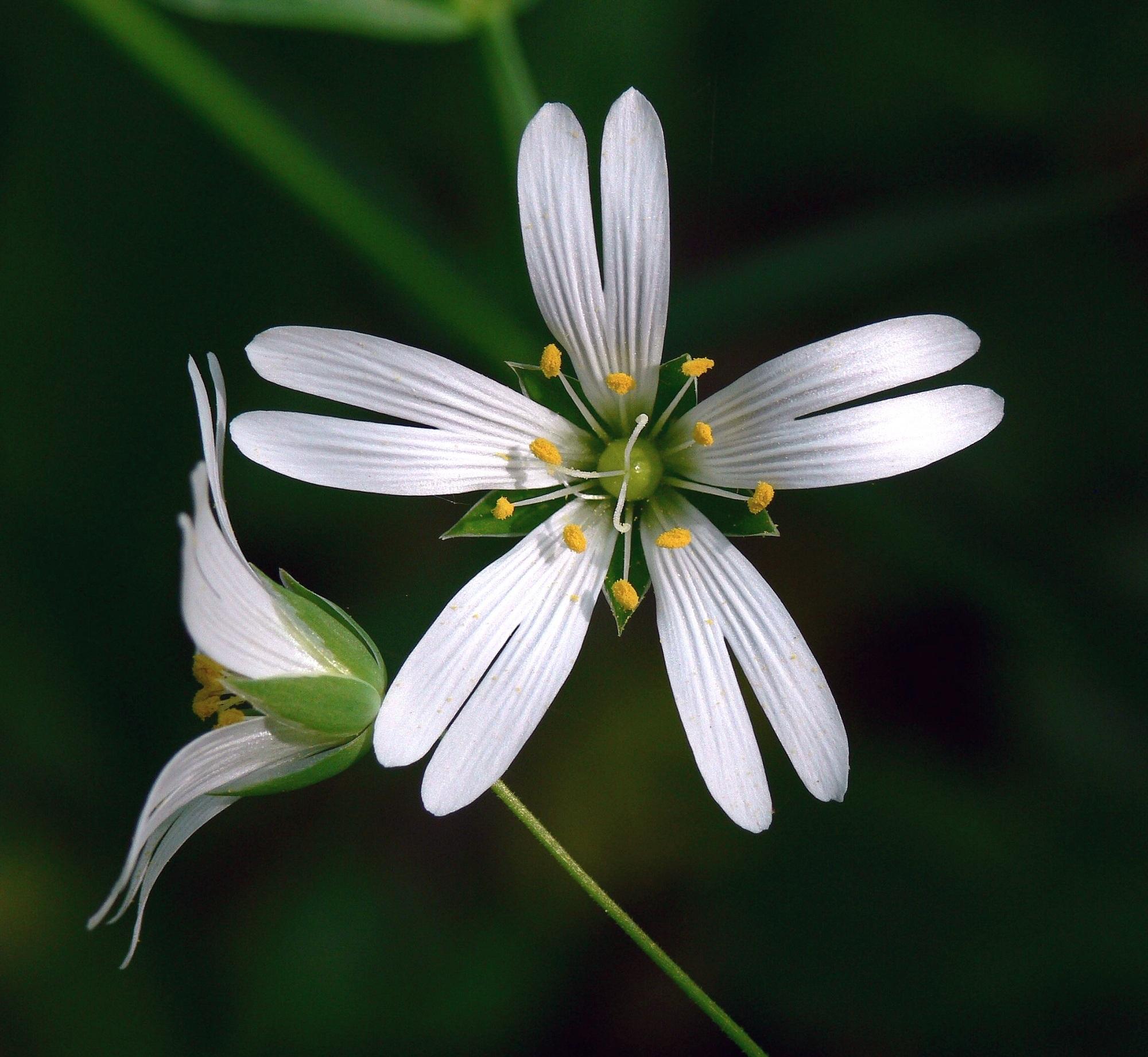 Stitchwort in the garden photo
