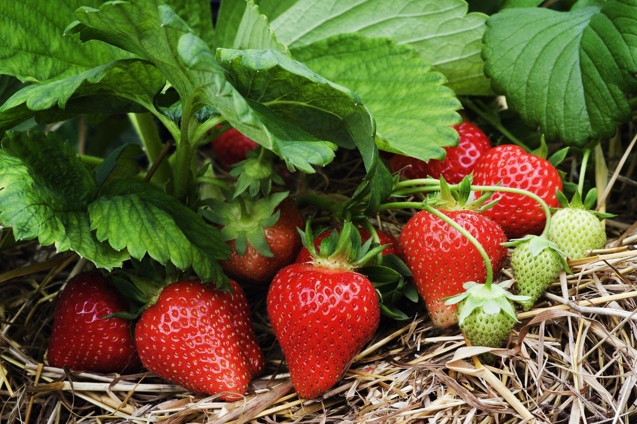 Strawberry plant photo