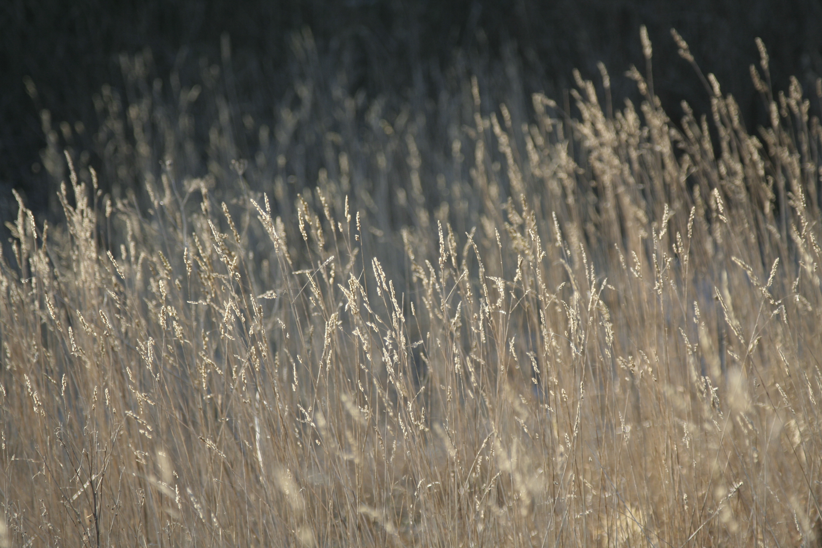 Straws, Dry, Field, Grass, Plants, HQ Photo