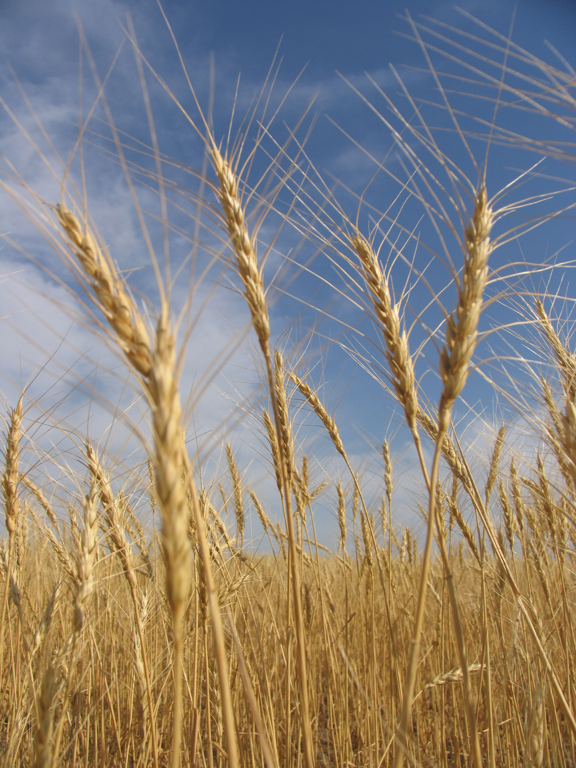 Straws, Agriculture, Raw, Malt, Meal, HQ Photo