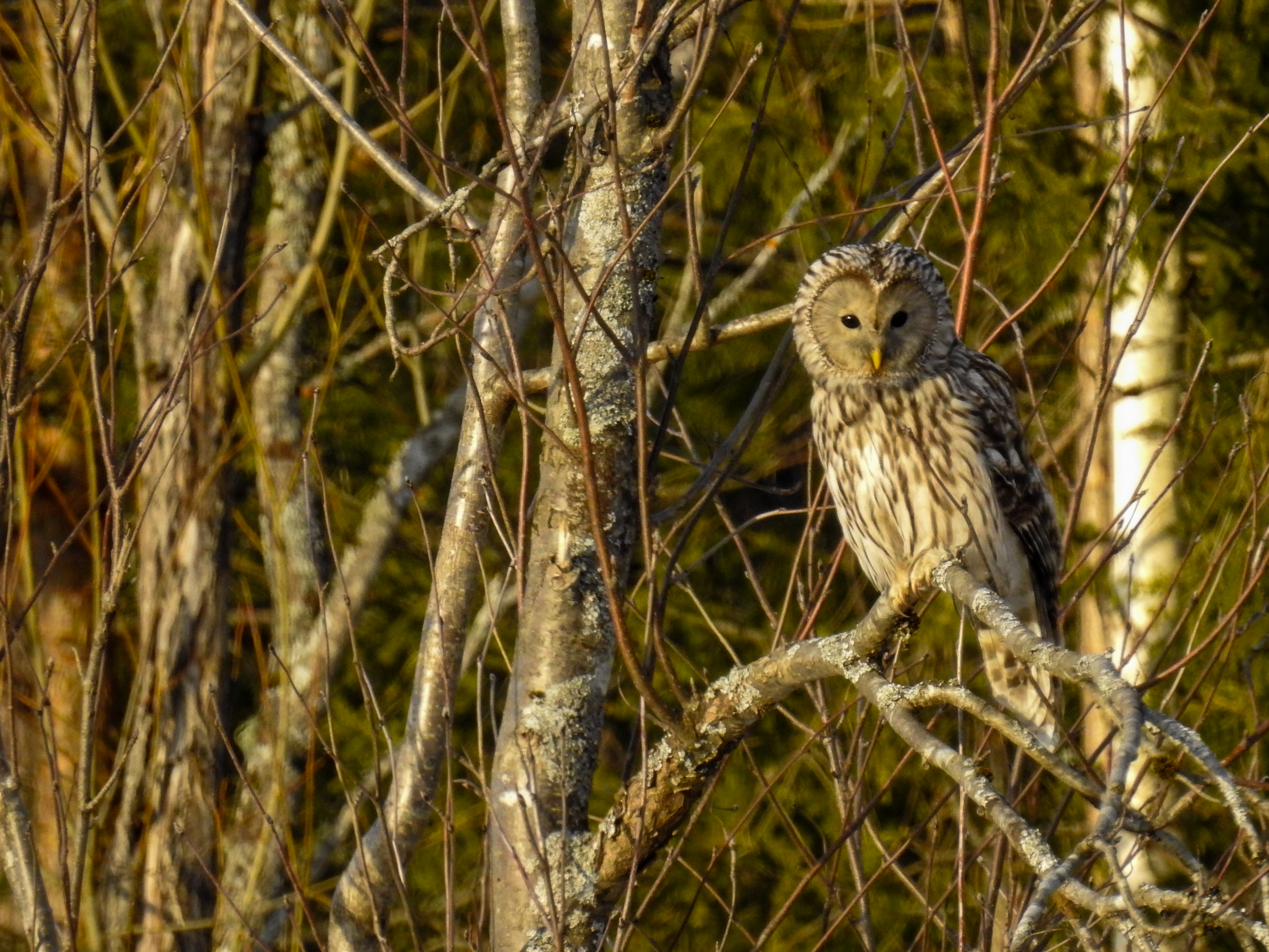 (strigiformes: strigidae) strix uralensis, slaguggla / ural owl photo