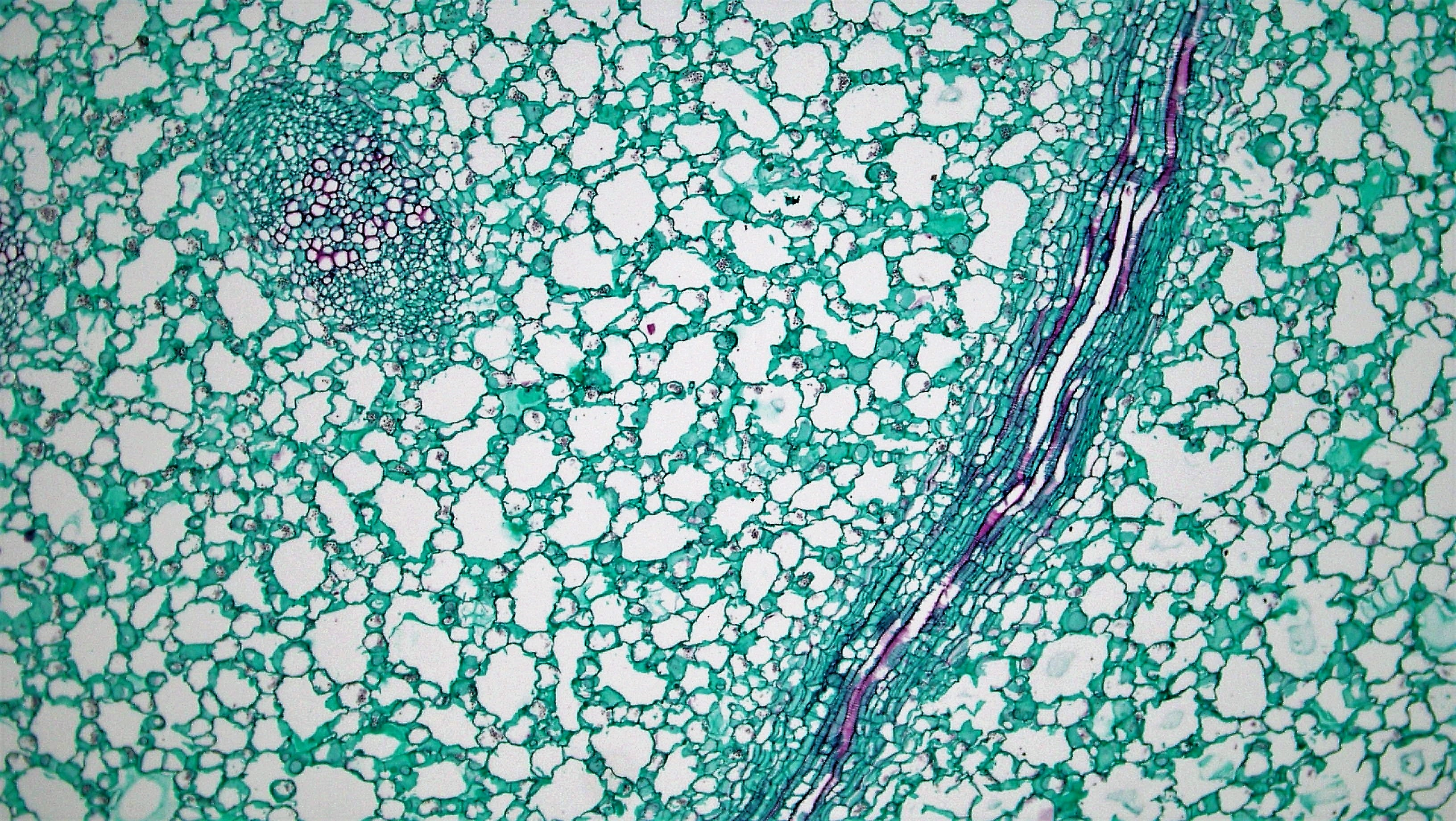 Submerged dicot stem: xylem elements in nymphaea photo