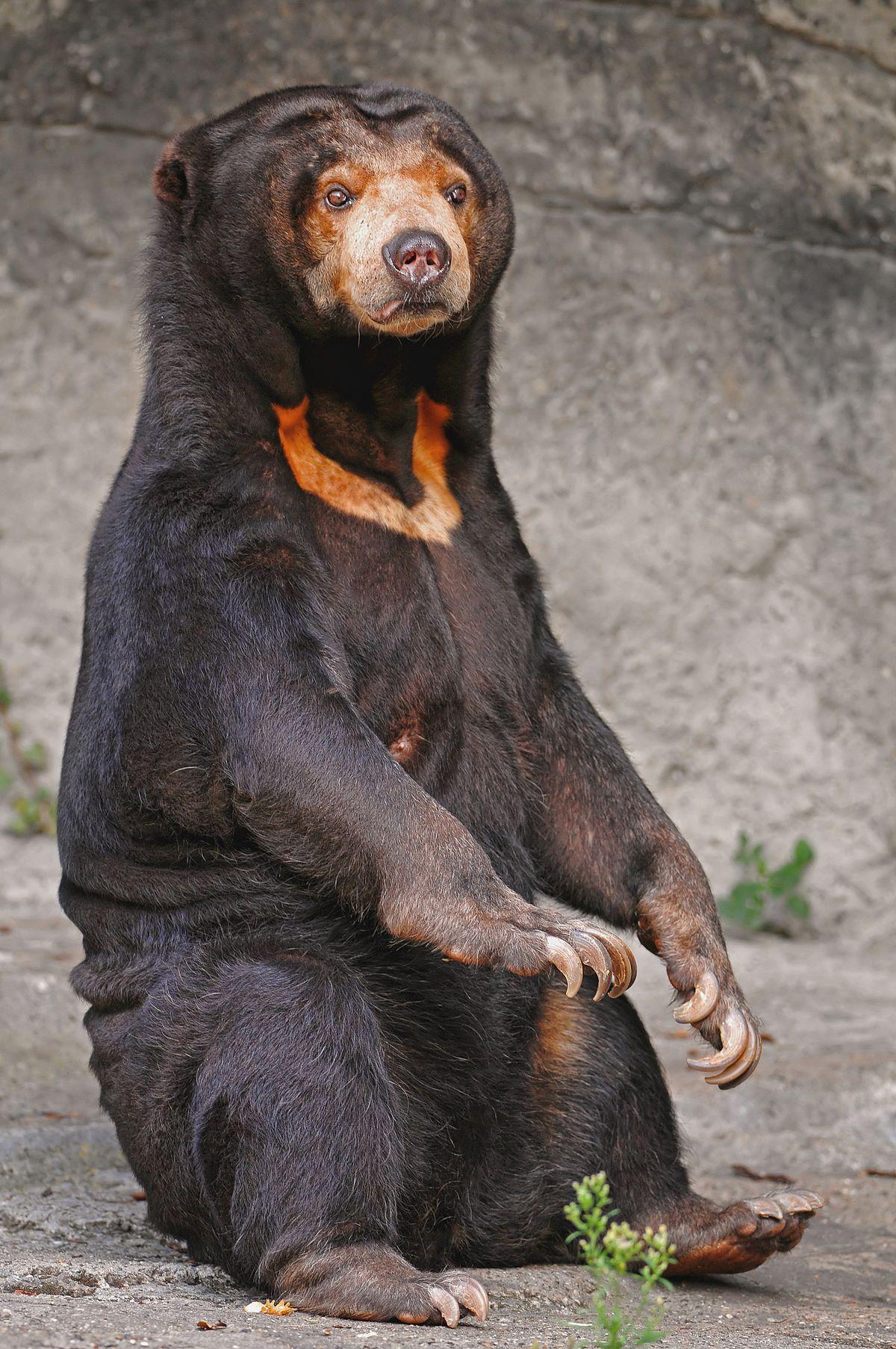 Sun bear photo